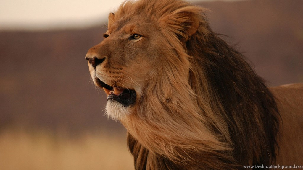 Angry - Lion With Long Hair , HD Wallpaper & Backgrounds
