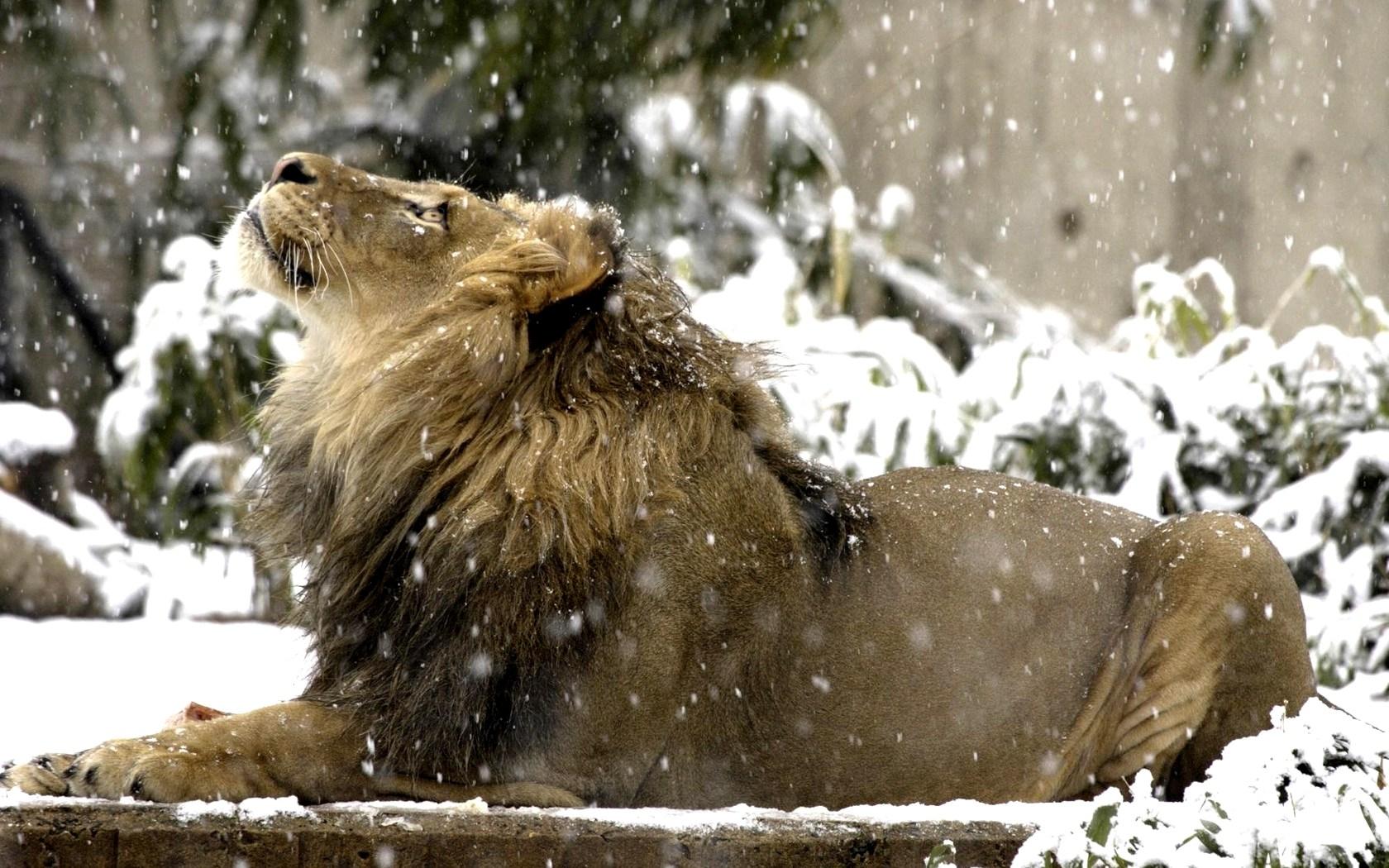 Roar Lion Desktop Hd Wallpaper Stylishhdwallpapers - Lion Roaring In Snow , HD Wallpaper & Backgrounds