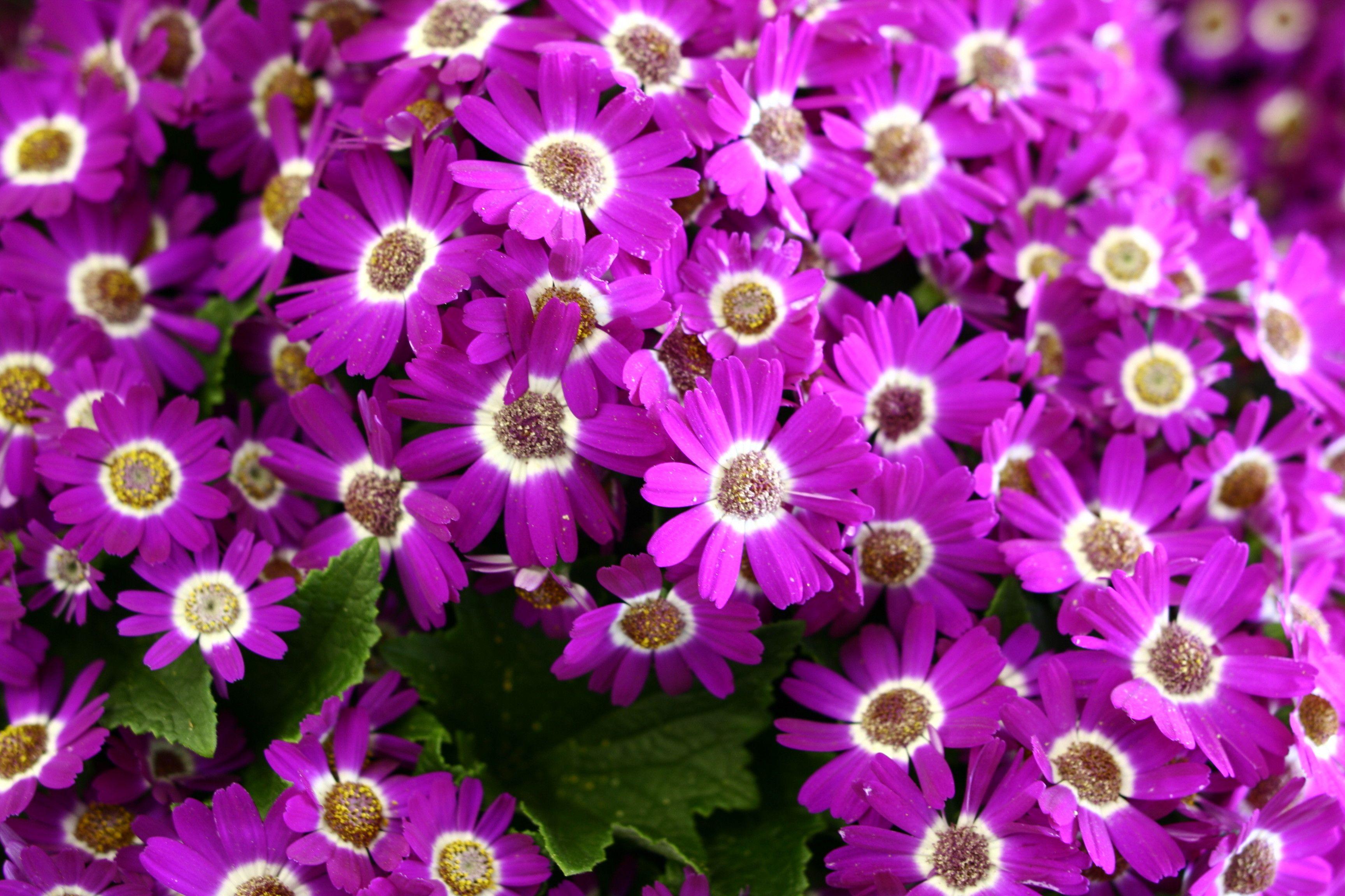 Violet Flori De Primavara Wallpaper Spring Flowers Image Free