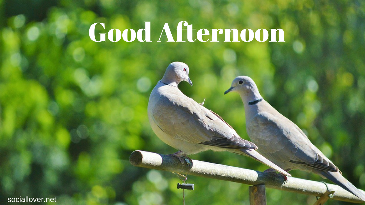 Love Pigeon Good Afternoon Images Good Afternoon Image