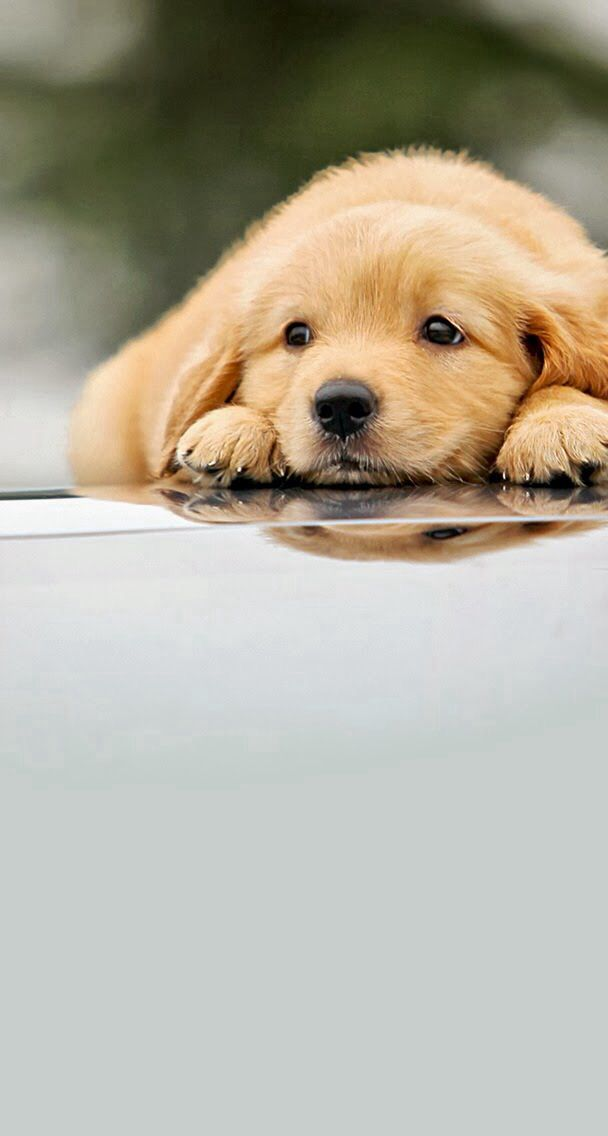 Cute Puppies Wallpapers For Mobile Iphone 6 Golden Retriever 1882324 Hd Wallpaper Backgrounds Download