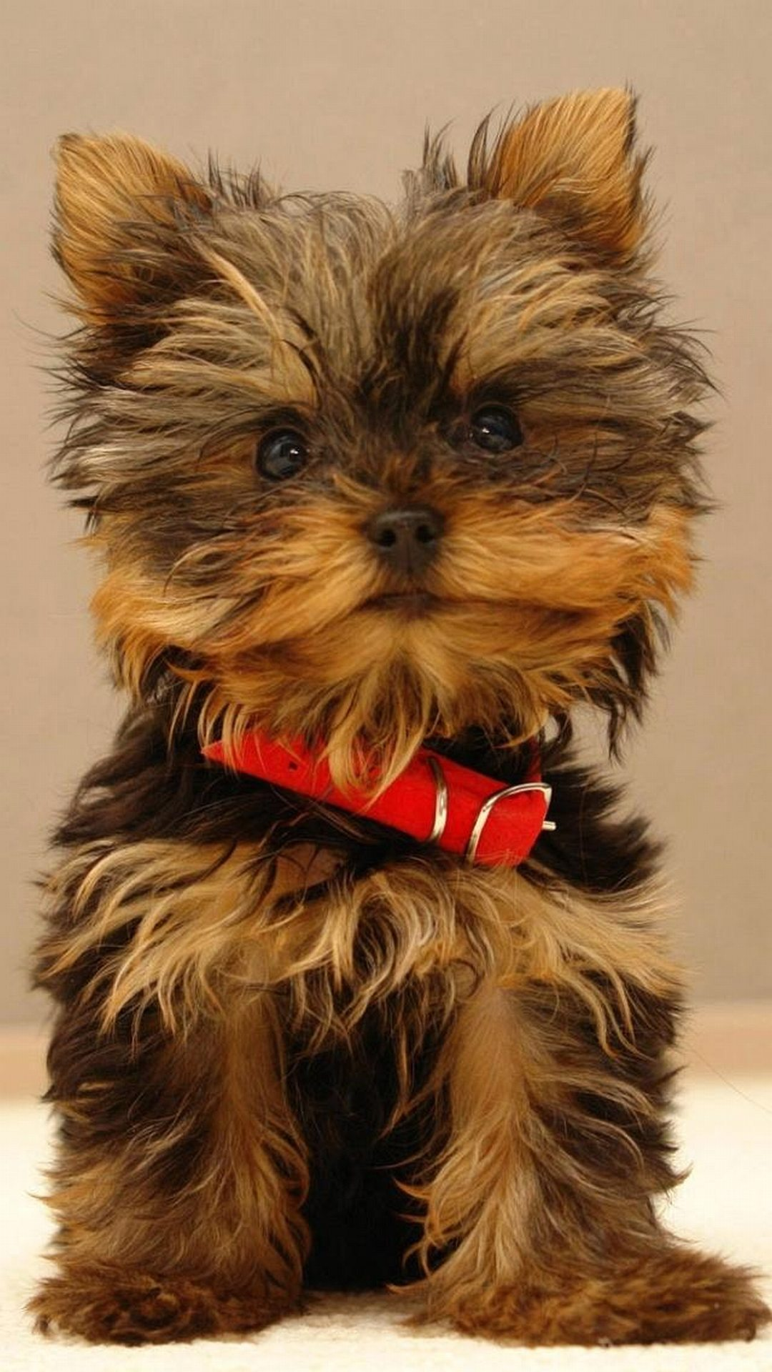 Yorkshire Terrier Cute Puppy Android - Chrisley Knows Best Miley , HD Wallpaper & Backgrounds