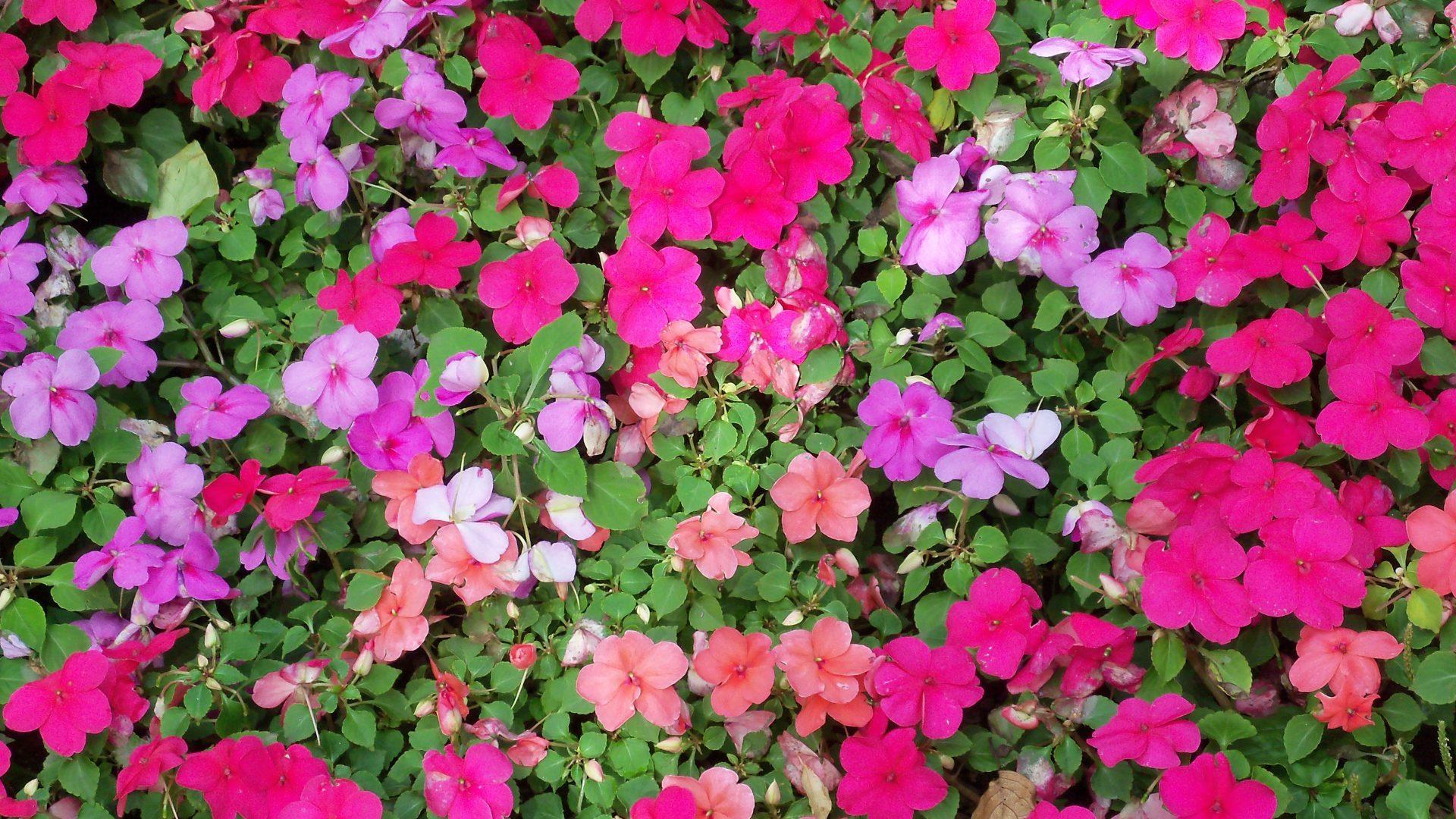 Beautiful Bed Garden Nature Flower Flowers Desktop - Busy Lizzie , HD Wallpaper & Backgrounds