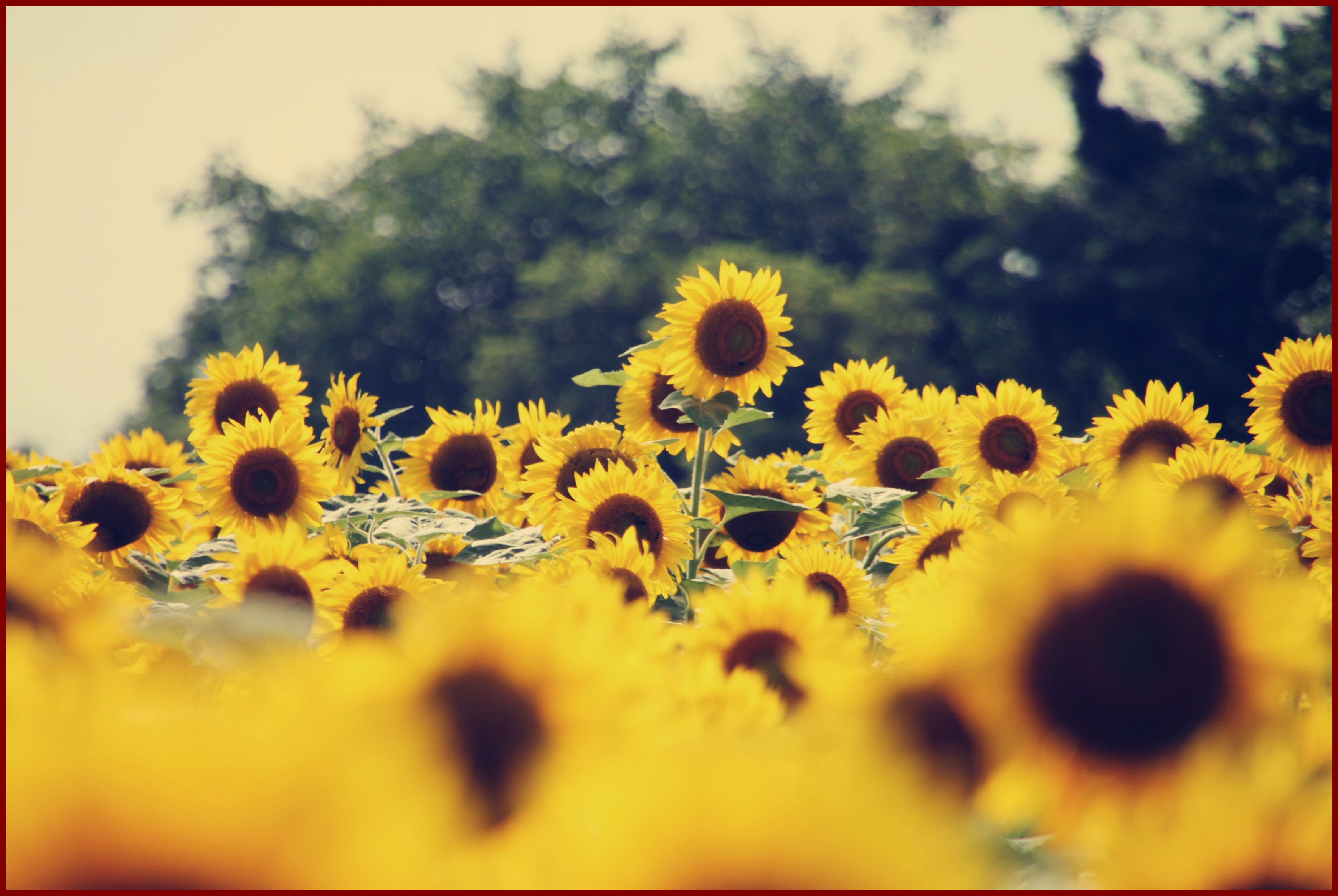 Sunflower Wallpaper Tumblr 475498 Iphone X Wallpaper Flower 1884951 Hd Wallpaper Backgrounds Download