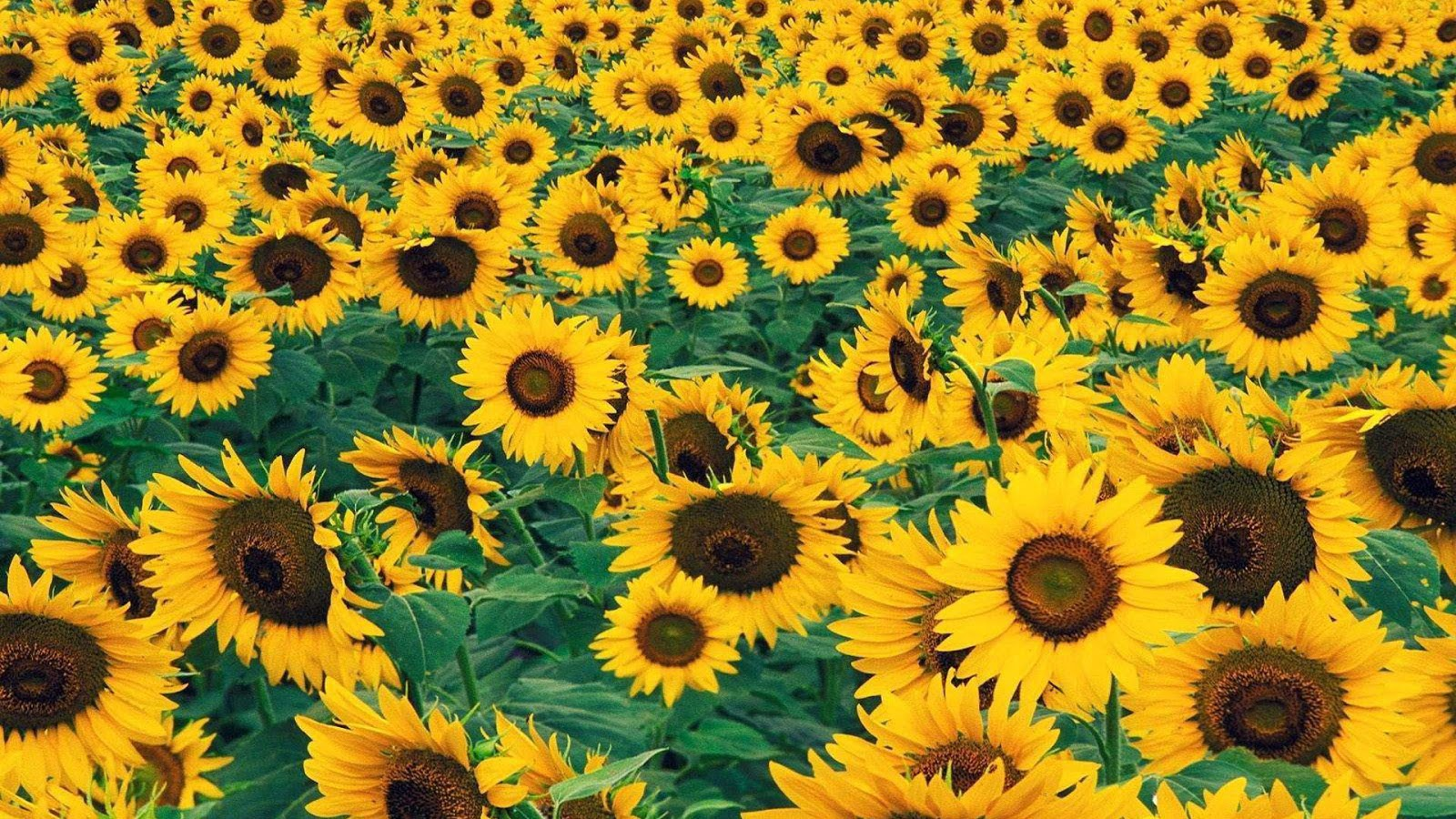 Sunflower Full Hd Wallpapers 1080p Free Download At - Full ...