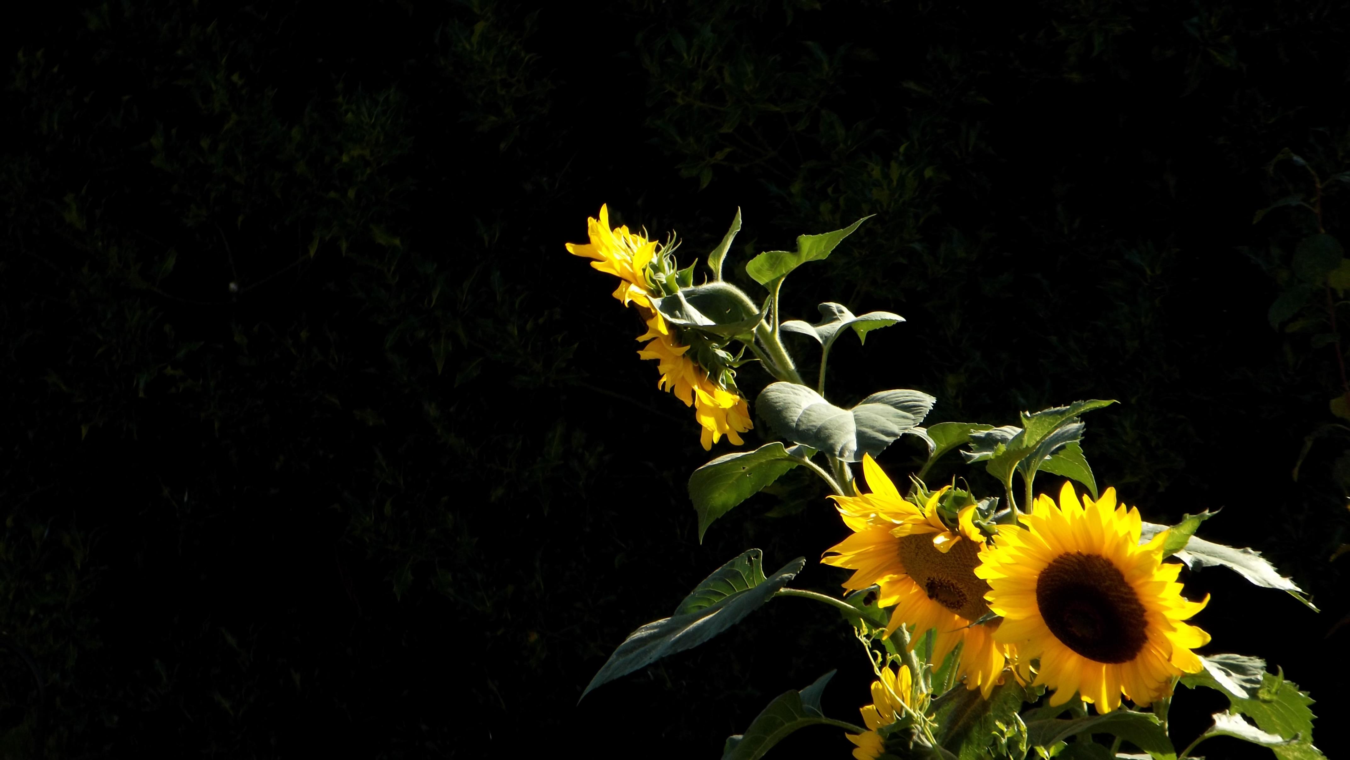 Hd Wallpaper - Hd Quality Sunflowers , HD Wallpaper & Backgrounds