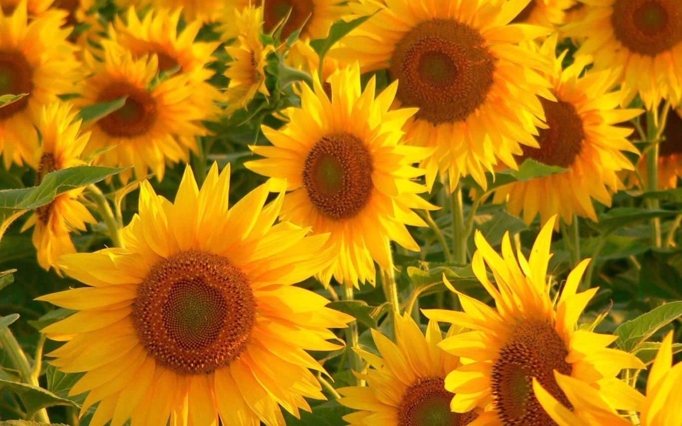 Sunflower Wallpaper Tumblr Pc Gardening Flower And
