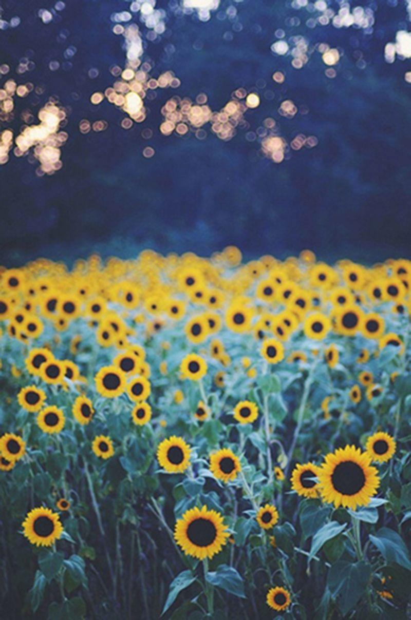 Sunflowers Tumblr Pesquisa Google Girasoles Para Fondo De
