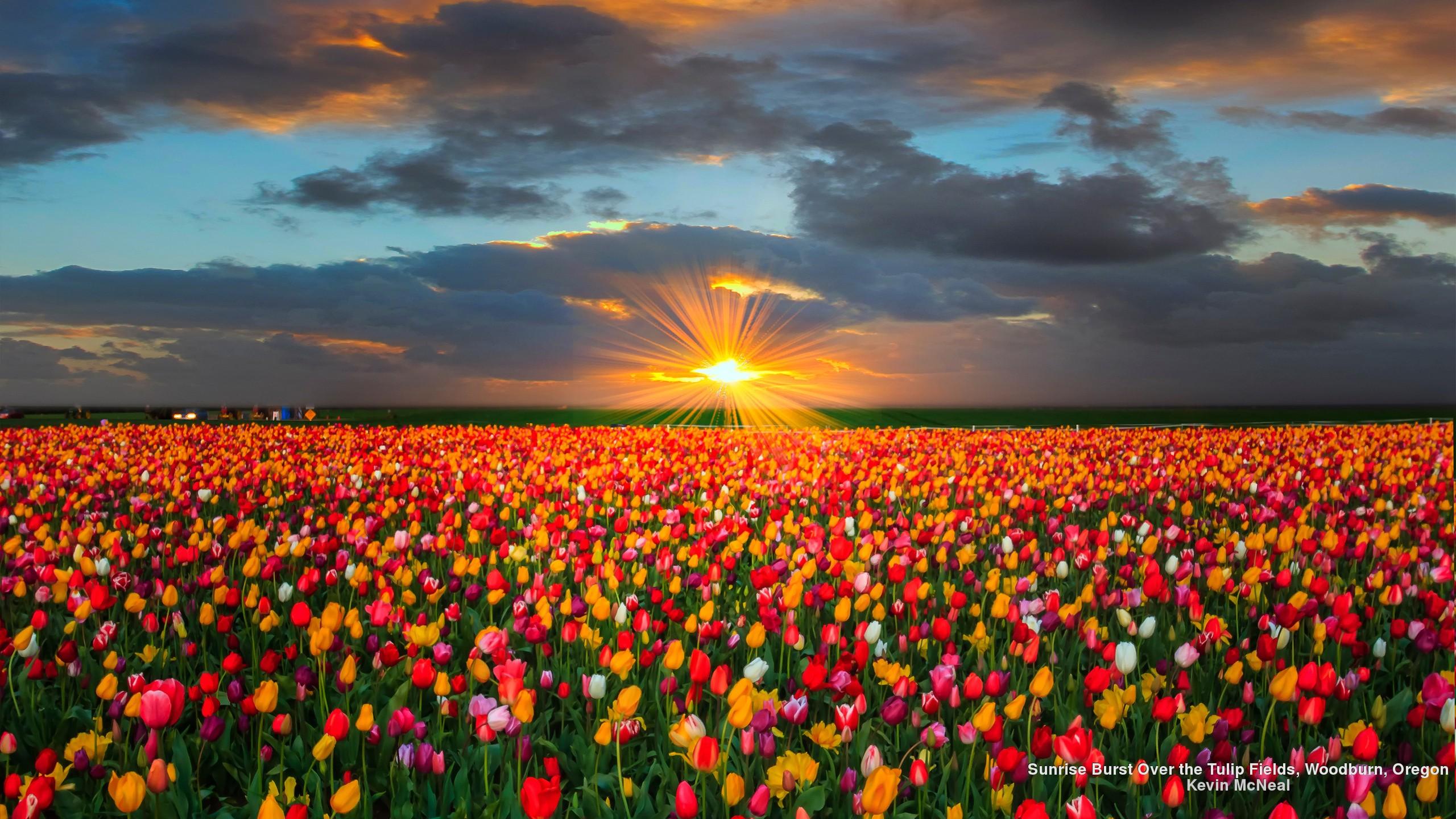 Sunflower Field Desktop Wallpapers Full Hd Is Cool Tulip Field Desktop Background 1885744 Hd Wallpaper Backgrounds Download