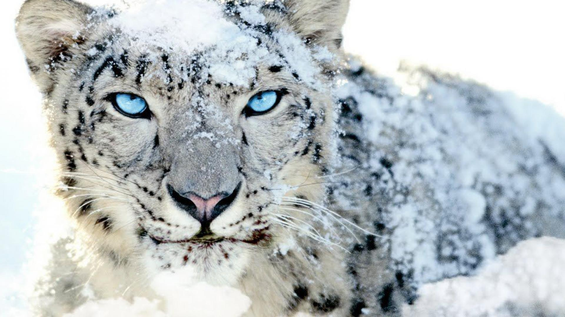 Snow Leopard Wallpapers Page Hd Wallpaper Snow Leopard