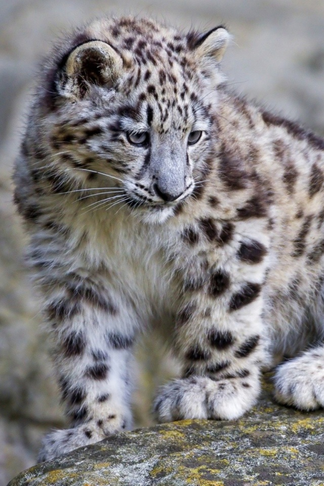 Download Now Cute Baby Snow Leopard 1886800 Hd