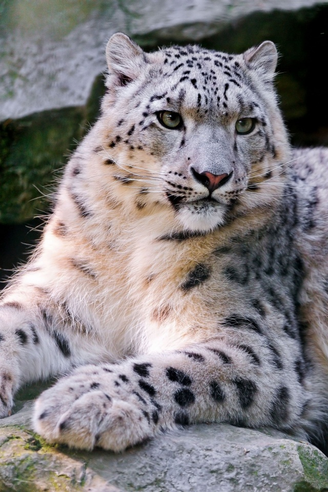 Download Now - Snow Leopard Iphone Background , HD Wallpaper & Backgrounds
