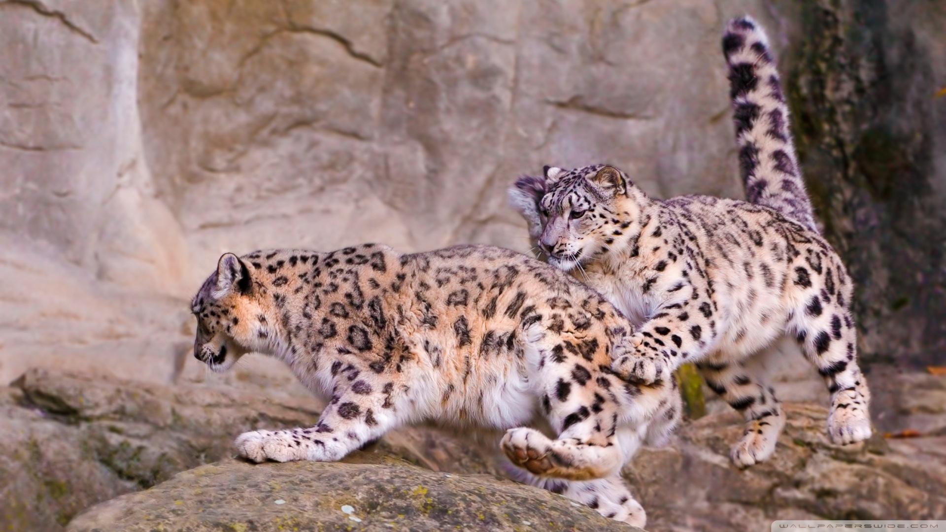 Full Hd 1080p Snow Leopard Wallpapers Hd, Desktop Backgrounds - Snow Leopard 16 9 , HD Wallpaper & Backgrounds