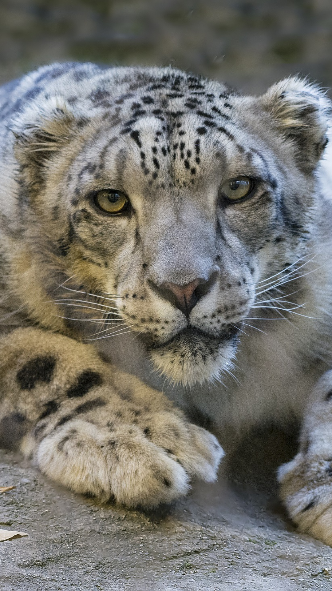 Snow Leopard 1887558 Hd Wallpaper Backgrounds Download