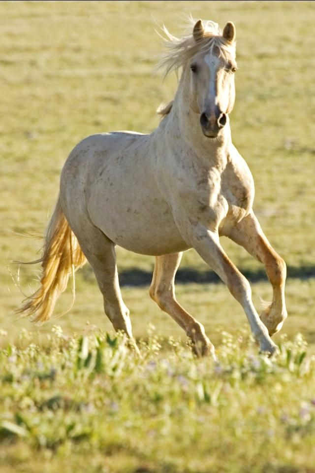 Horse Photos Downloadable Free Iphone Appaloosa Horse 1893096