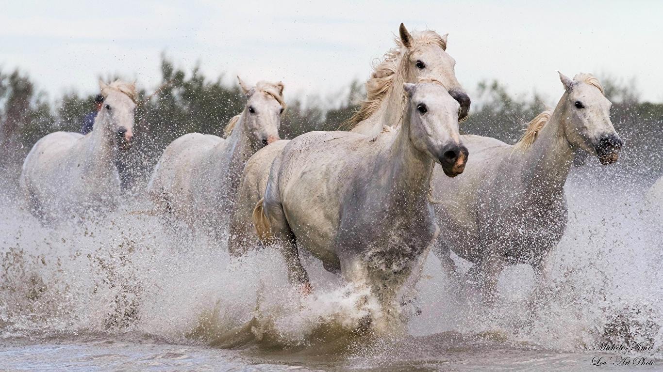 Photos Horses Run White Water Splash Animals Running Animal