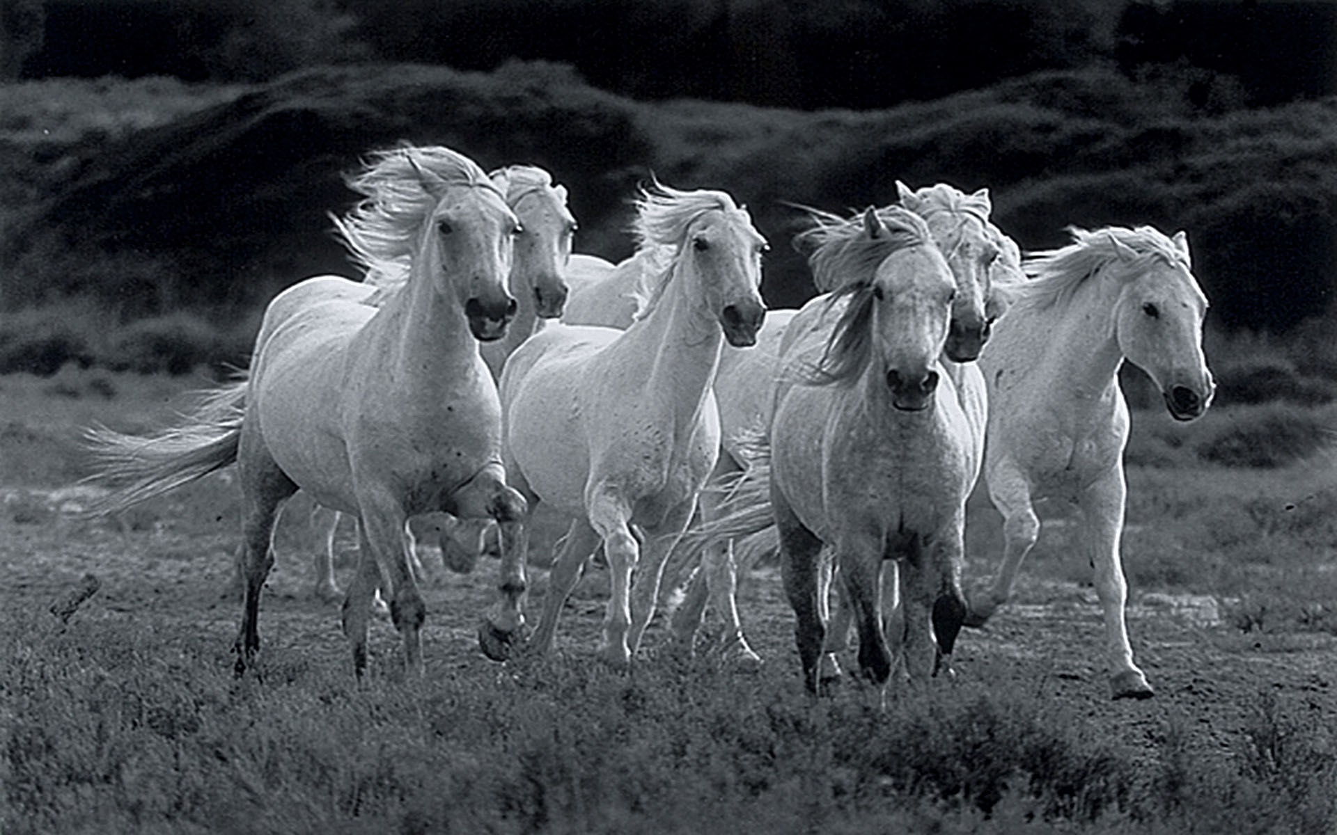 All The Pretty Horses Movie Wallpapers 894927 Seven Running White Horses 1893710 Hd Wallpaper Backgrounds Download