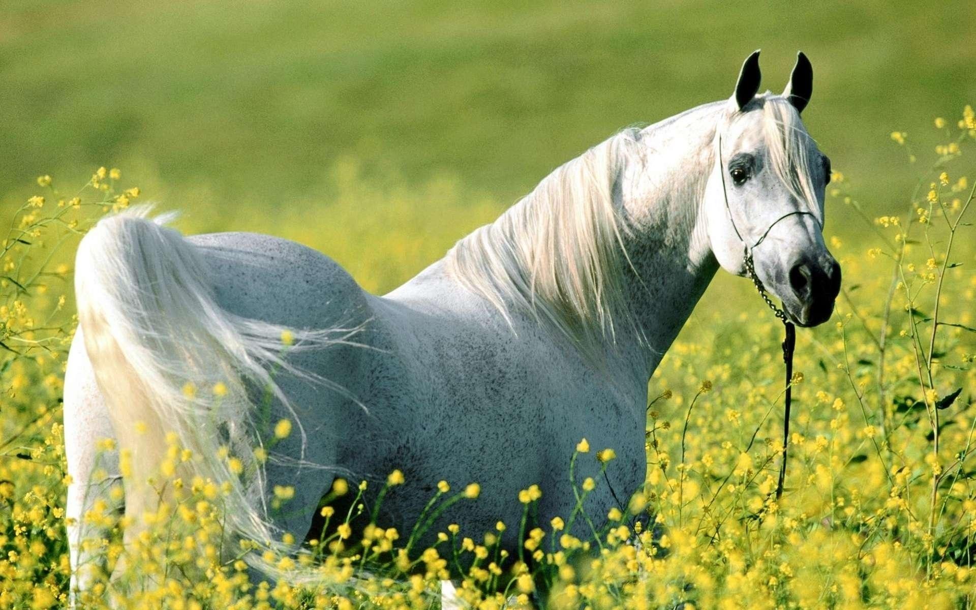 White Horse Widescreen Wallpaper Desktop 3d Of Horse 1893787