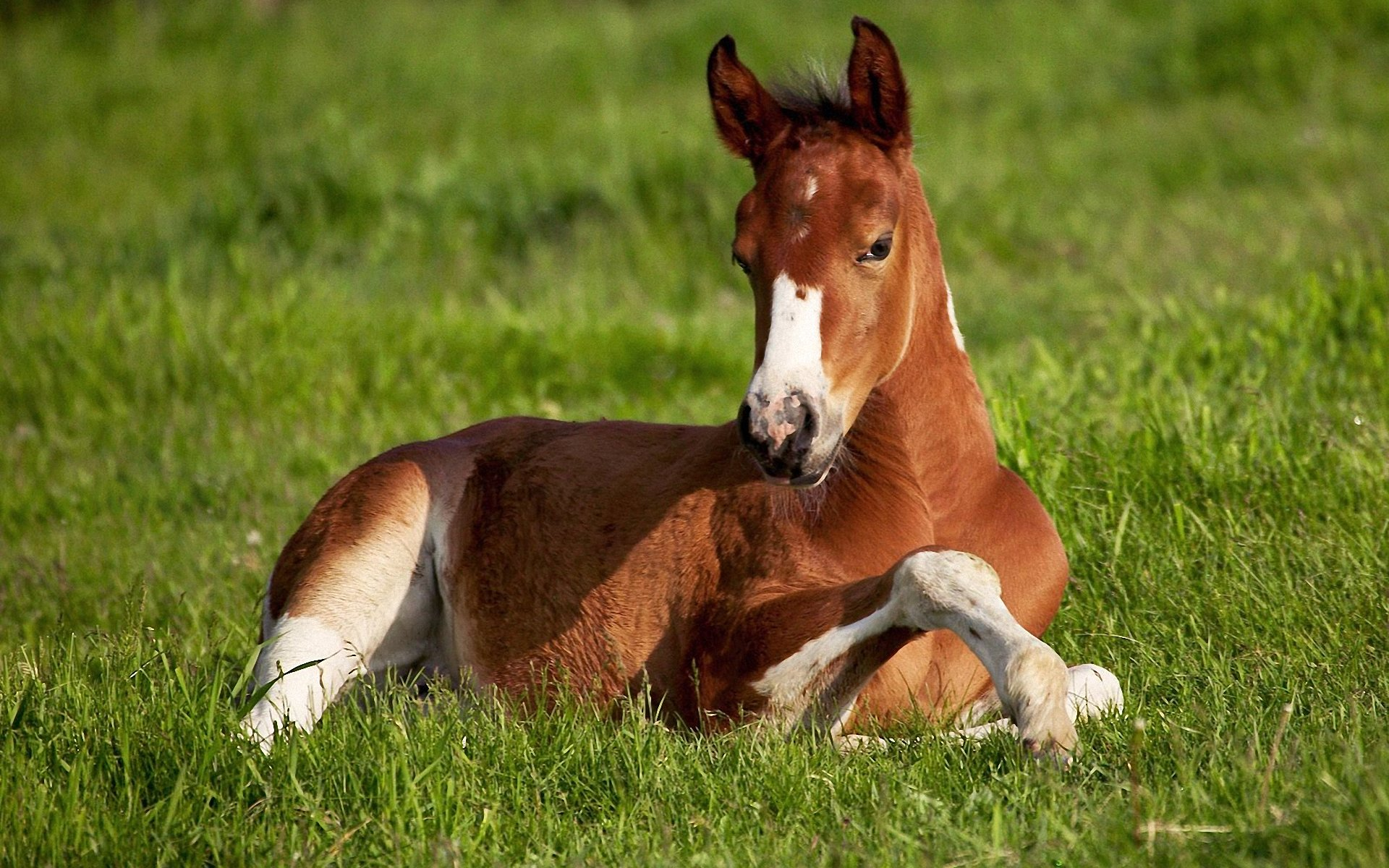 Wide Beautiful Horse Wallpapers Cute Horse Lying Down 1893901 Hd Wallpaper Backgrounds Download