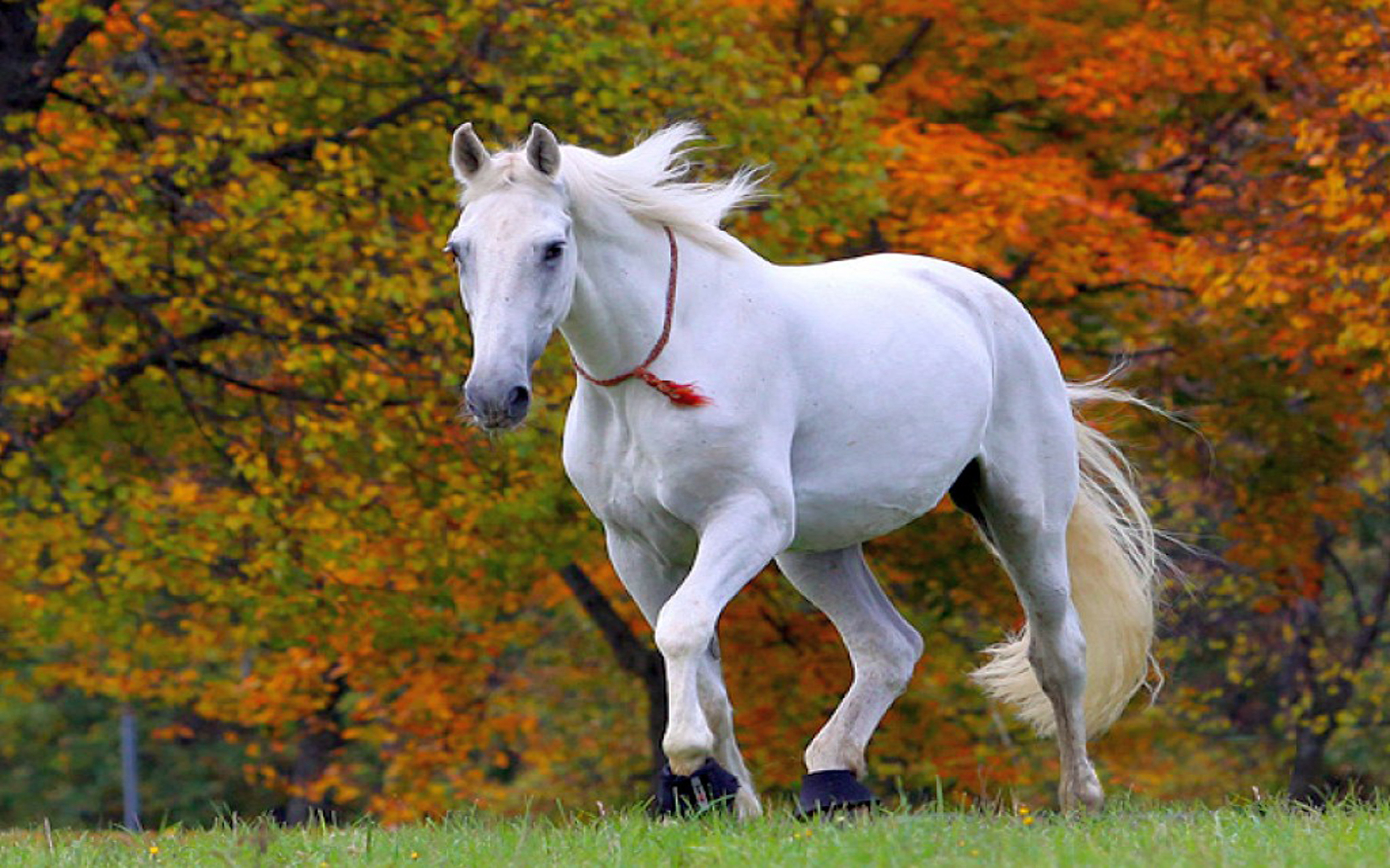 Download Original Resolution Most Beautiful White Horse In The
