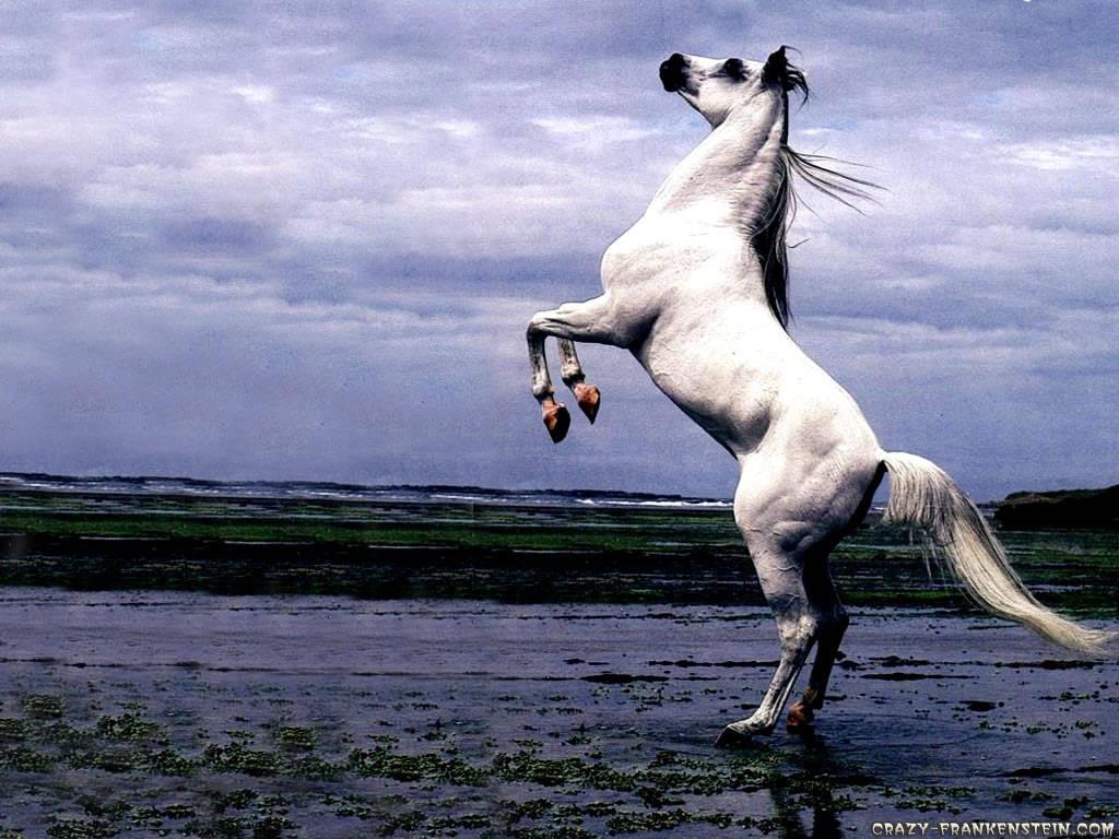 Images Of Beautiful Horses Horse Horses Horses Black Rearing Arabian Horse 1894190 Hd Wallpaper Backgrounds Download