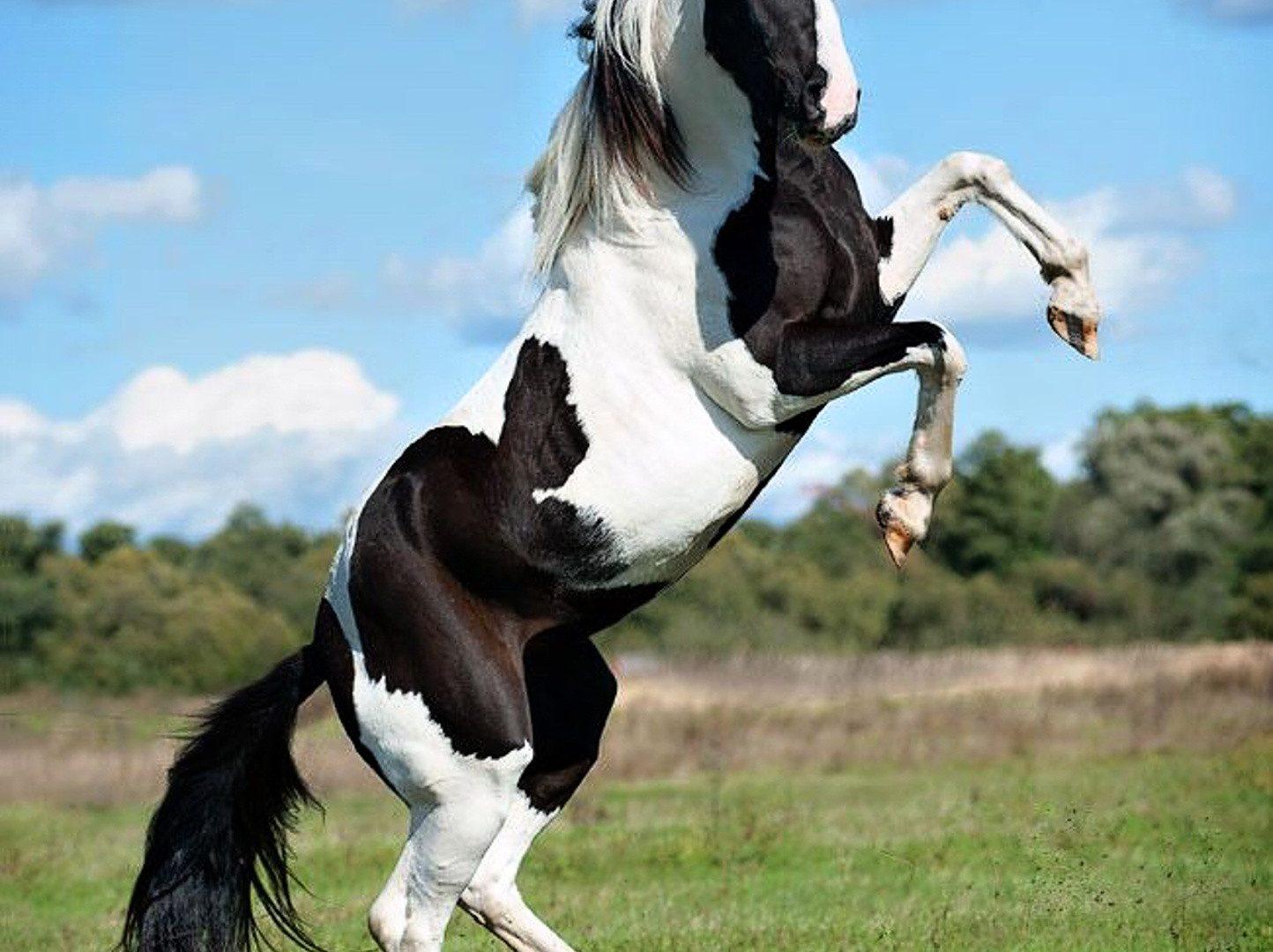 Beautiful Black White Horse Download Wallpapers Black And White Horse Rearing 1894363 Hd Wallpaper Backgrounds Download
