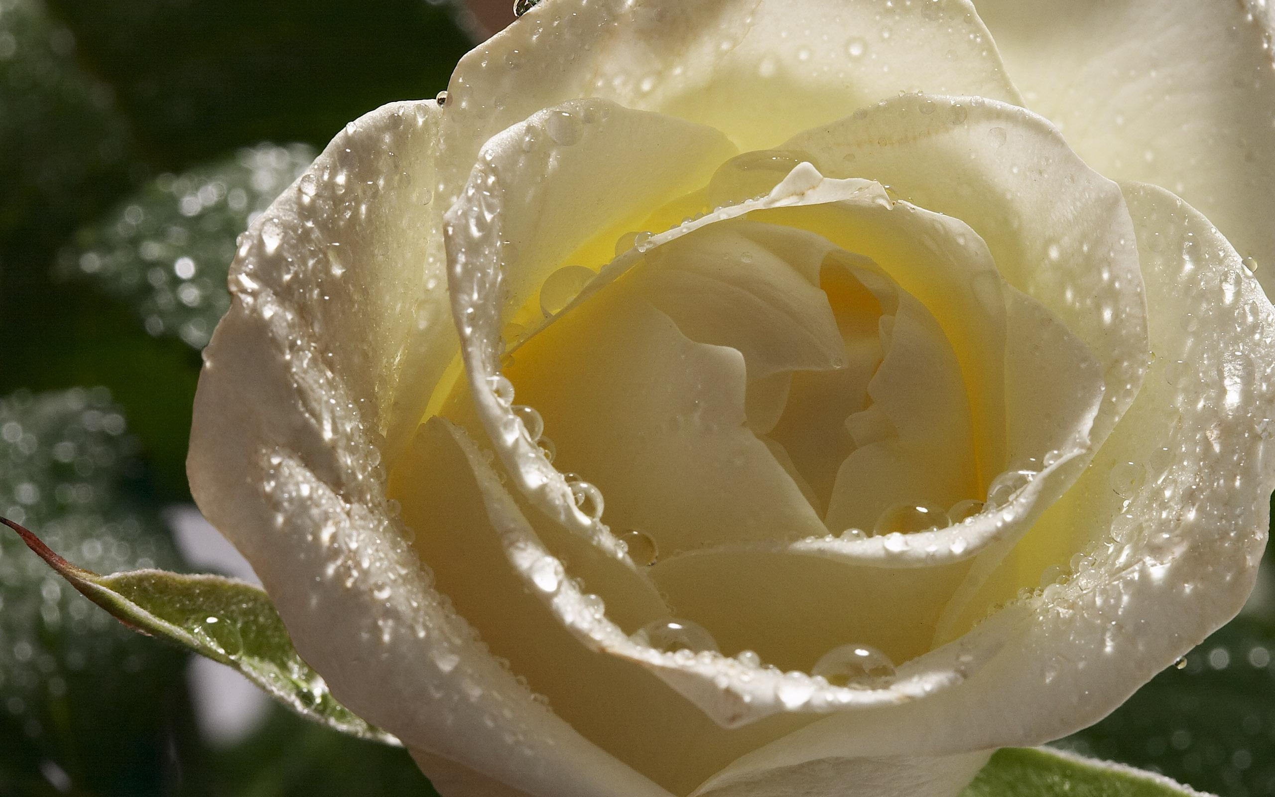 3d Rose Wallpapers Free Download - White Rose With Dew Drops , HD Wallpaper & Backgrounds