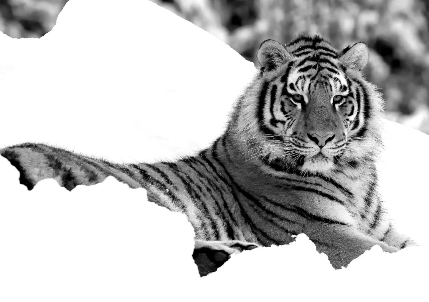 Cats Oriental Cats Cat Tiger Predator Fantasy Nature - Siberian Tiger , HD Wallpaper & Backgrounds