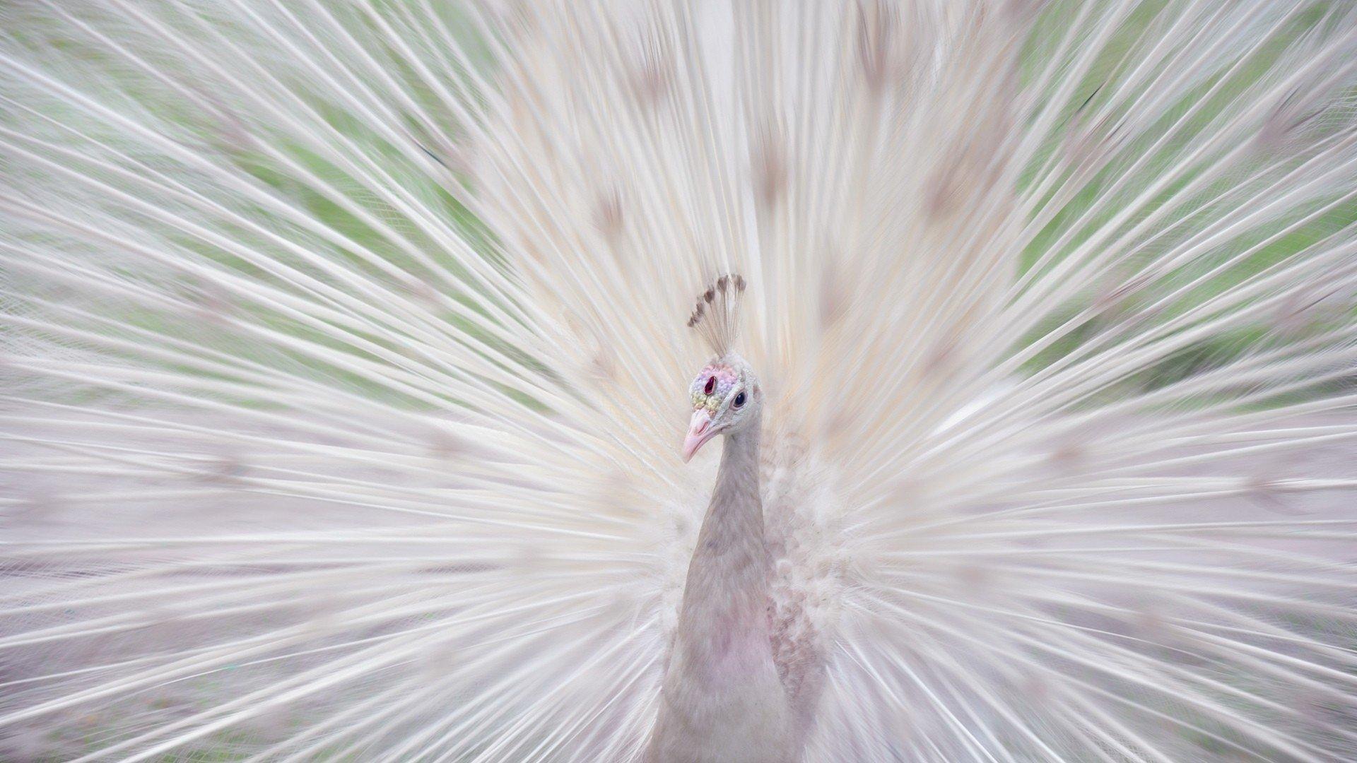 Download Full Hd Peacock Computer Wallpaper Id - Albino Animal , HD Wallpaper & Backgrounds