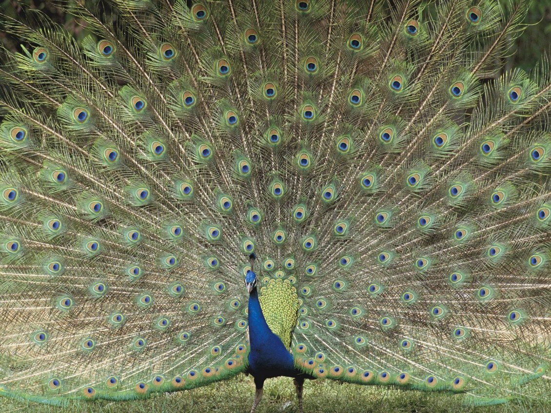 Download Wallpaper A Beautiful Peacock With Loose Tail - Indian Birds And Animals , HD Wallpaper & Backgrounds