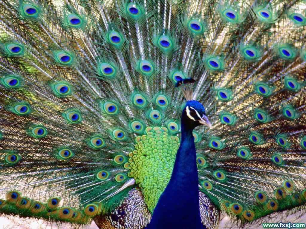 The Animal Kingdom Images Pretty Peacock Hd Wallpaper - 孔雀 图片 , HD Wallpaper & Backgrounds