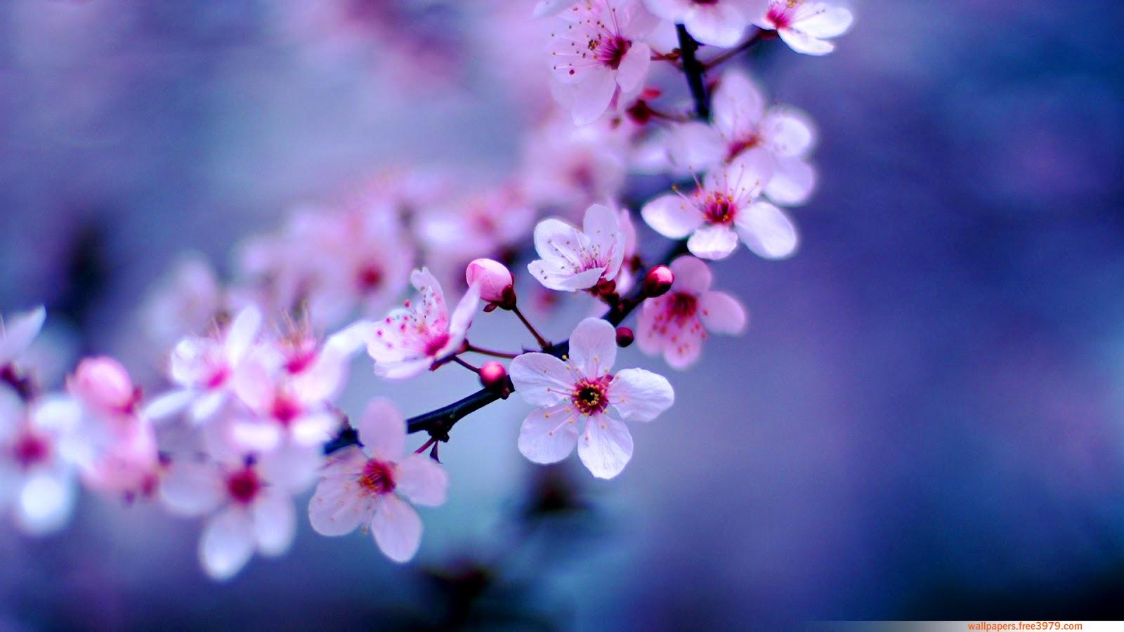 Apple Blossom Wallpaper Flower Japanese Cherry Blossom