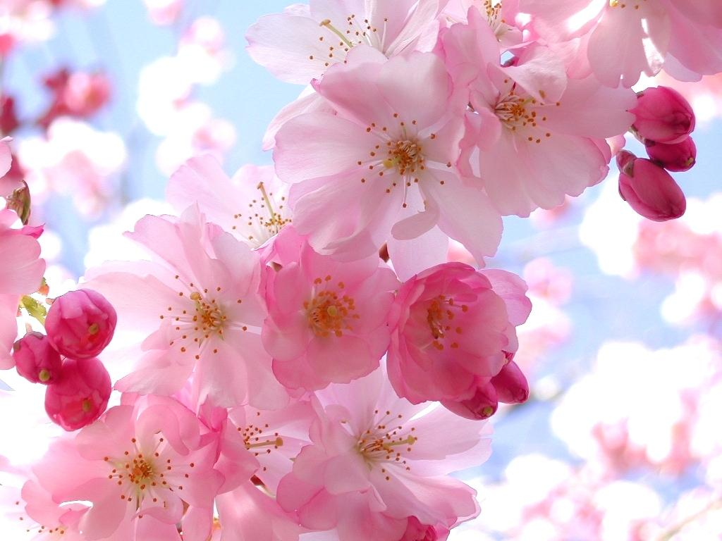 Cherry Blossom Wallpaper For Iphone 6 Plus Anime Beautiful Flower 1918416 Hd Wallpaper Backgrounds Download