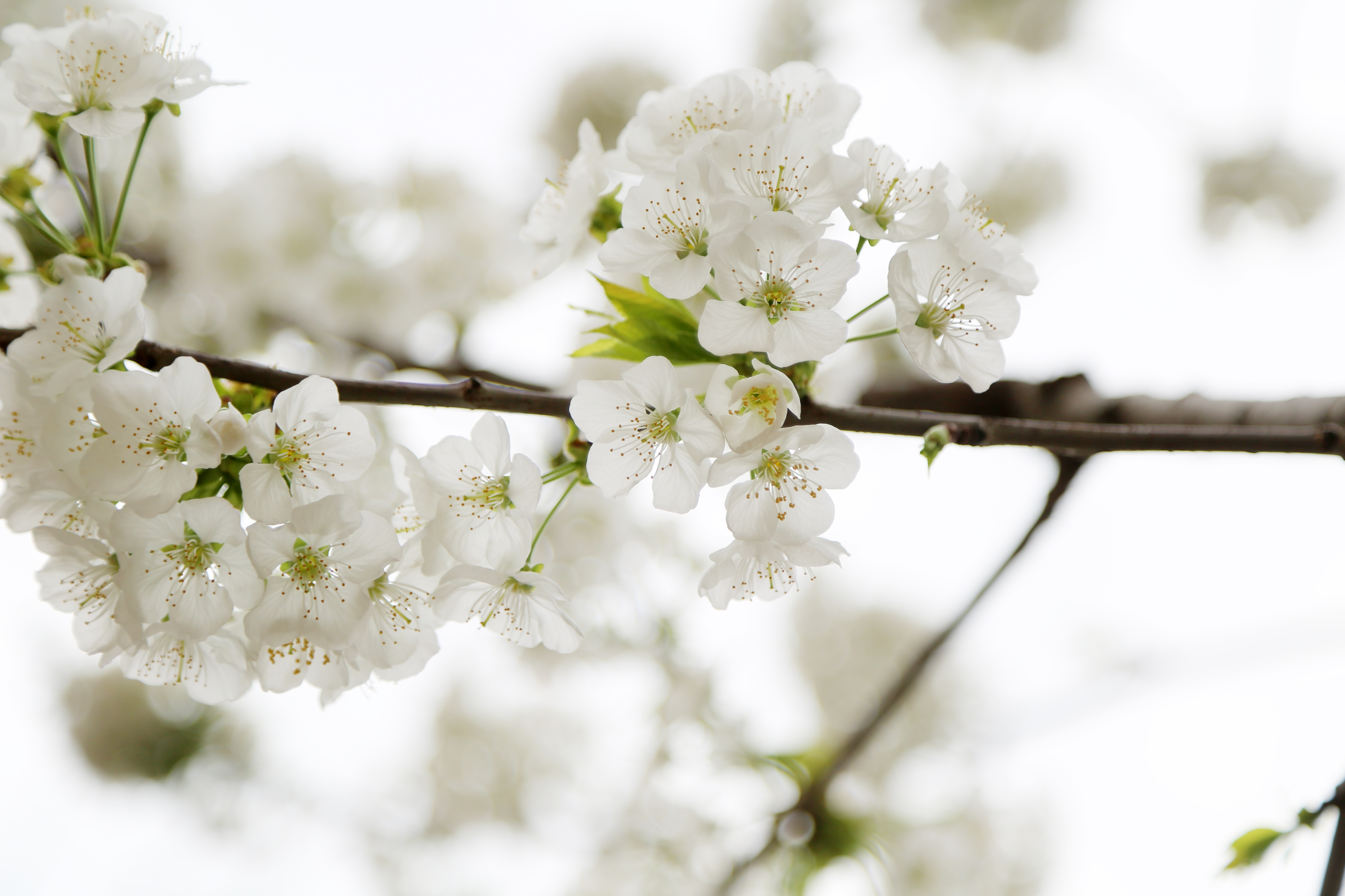 You Are On Page With Apple Blossom Wallpaper, Where - Flower , HD Wallpaper & Backgrounds