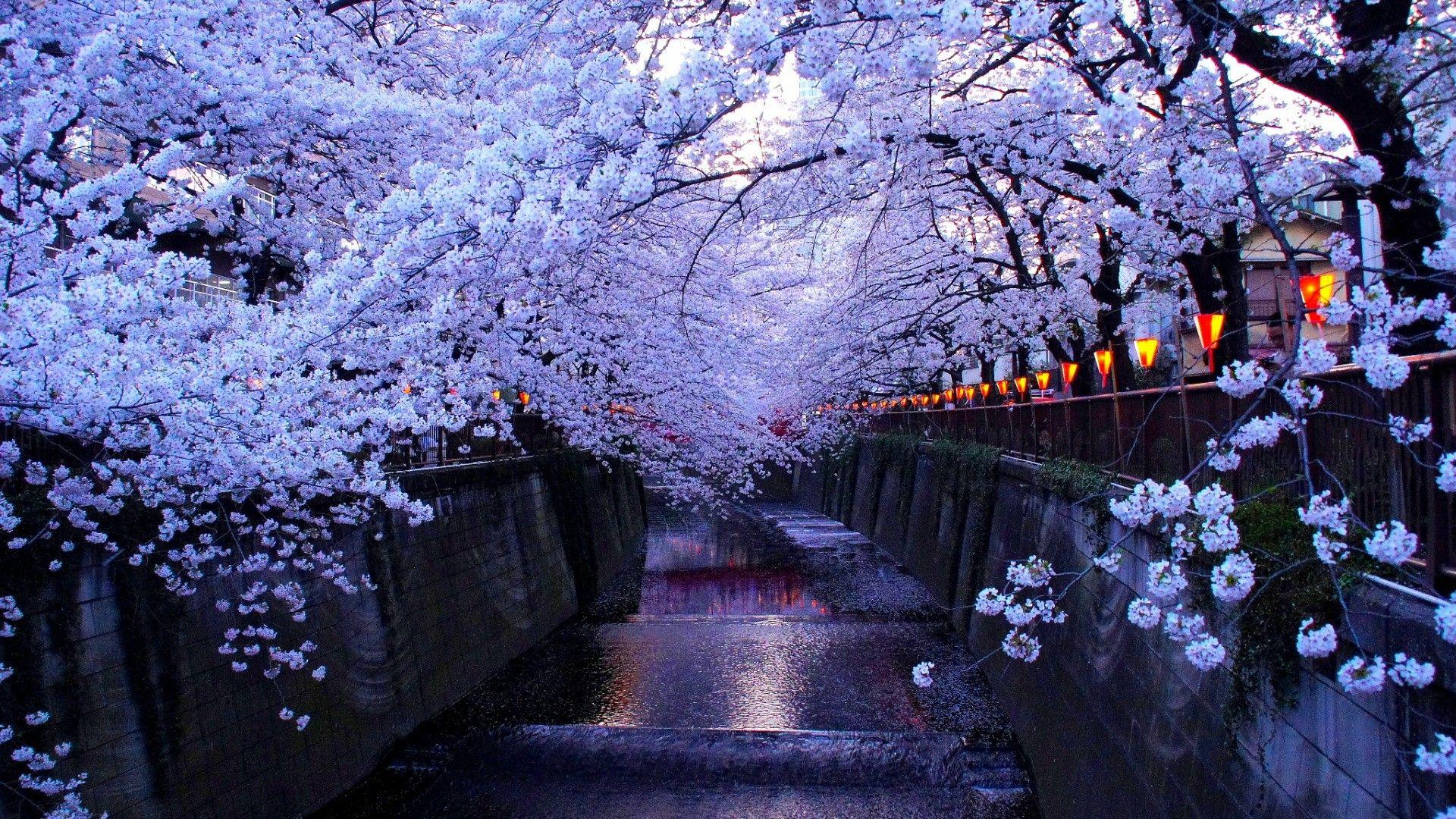 Anime Cherry Blossom Wallpaper Cherry Blossom Wallpaper Desktop 1918546 Hd Wallpaper Backgrounds Download