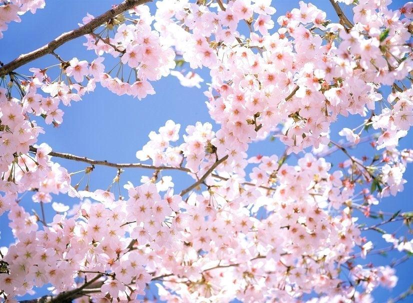 Japanese Cherry Blossom Wallpaper Japan Park Spring