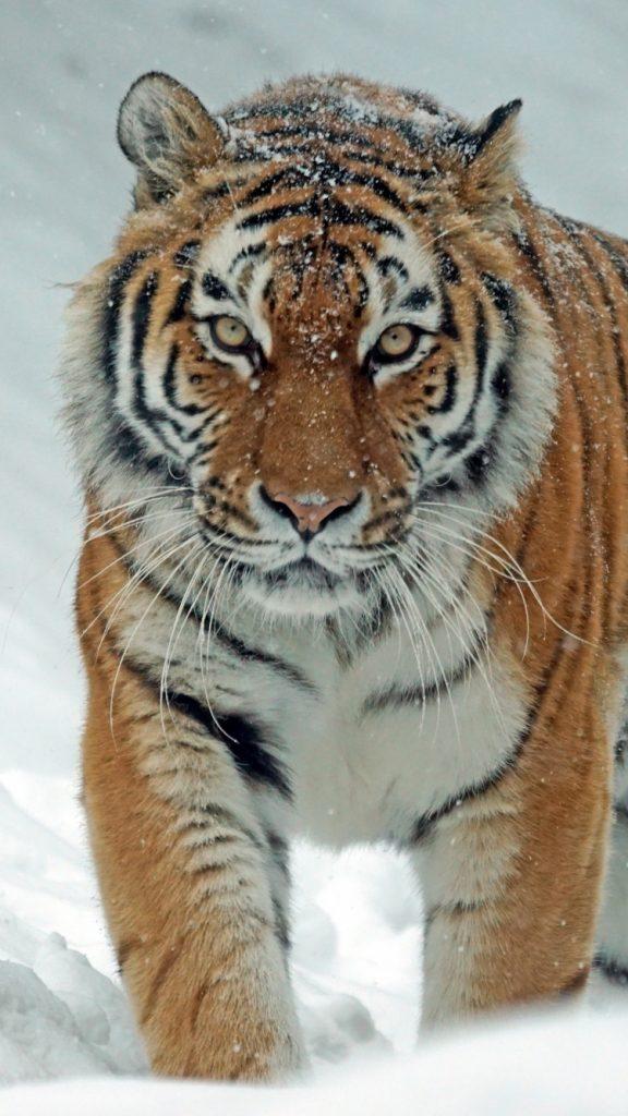 Tiger Siberian Tiger Wallpaper Iphone 1933694 Hd Wallpaper Backgrounds Download