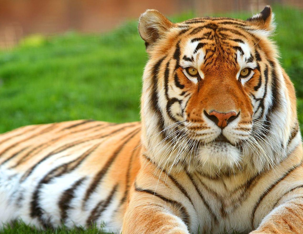 Tiger Hd Wallpaper Widescreen 54 Wallpapers - Tiger Lion Photo Download , HD Wallpaper & Backgrounds