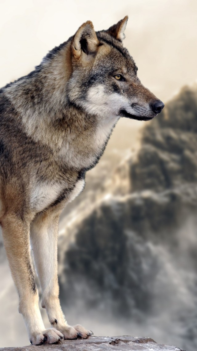 Wallpaper Wolf, Mountain, 4k, Animals - Wolf Grey 8k , HD Wallpaper & Backgrounds