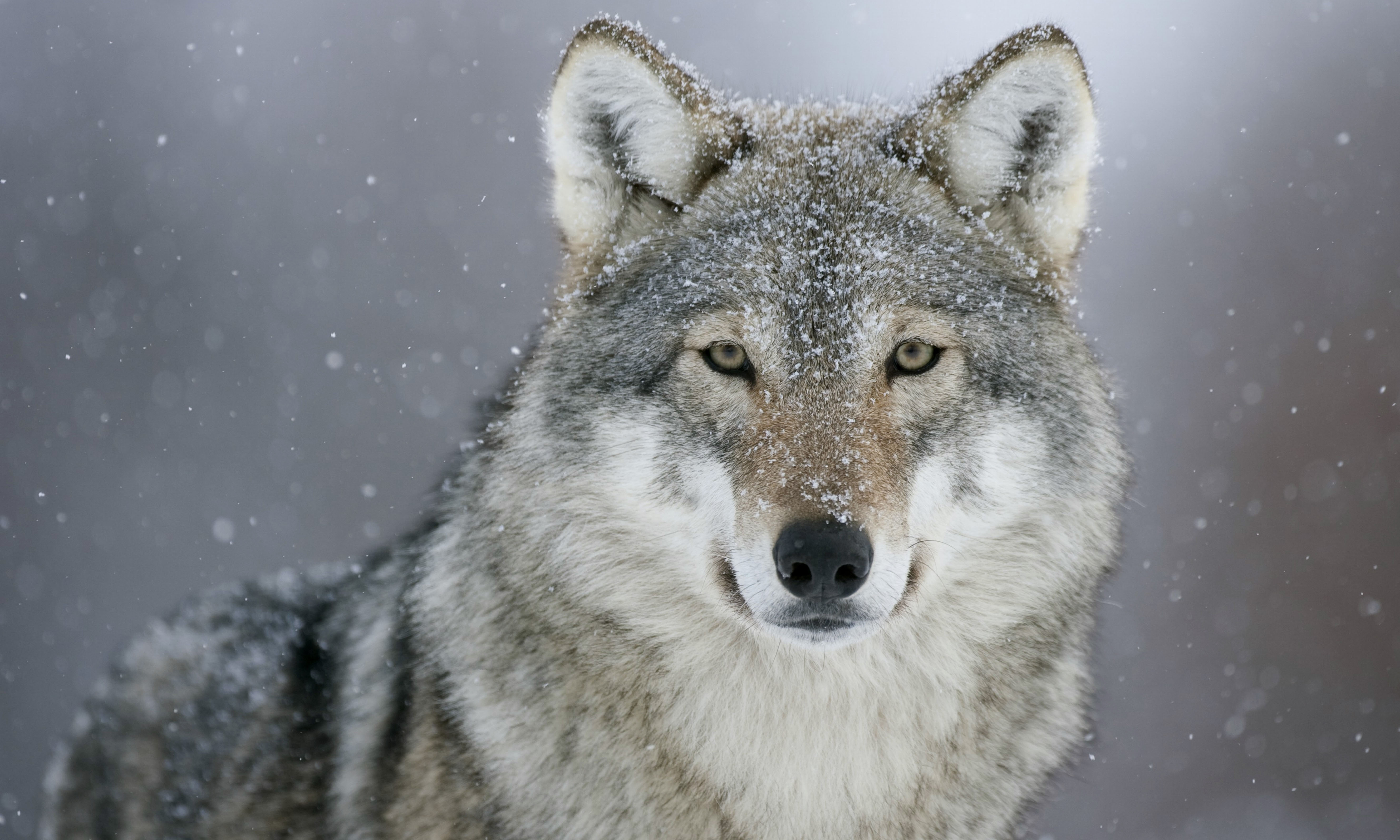 20 200511 gray wolf hd wallpapers wolf 4k