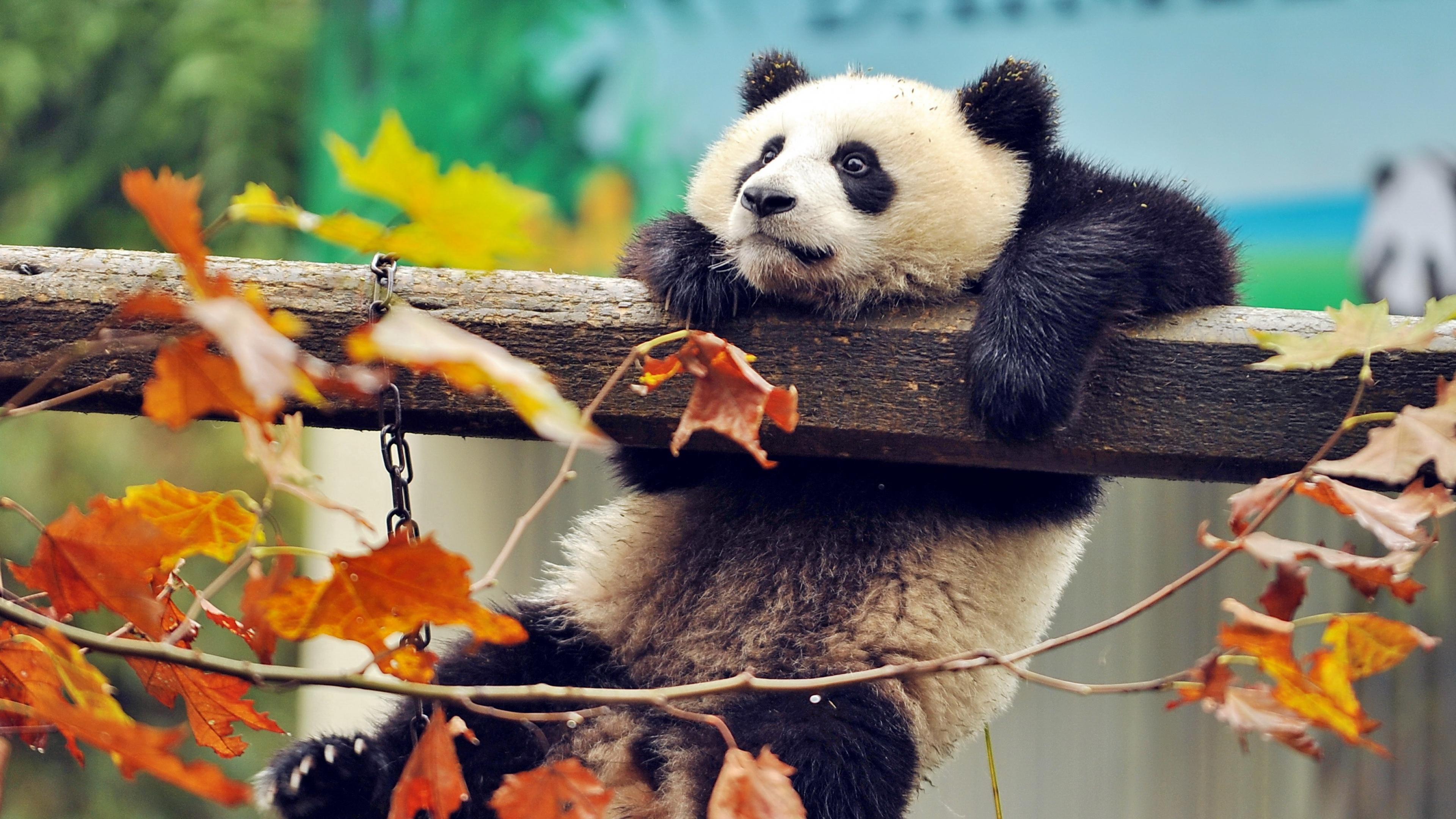 Cute-panda - Fondos De Pantalla Para Pc 4k , HD Wallpaper & Backgrounds