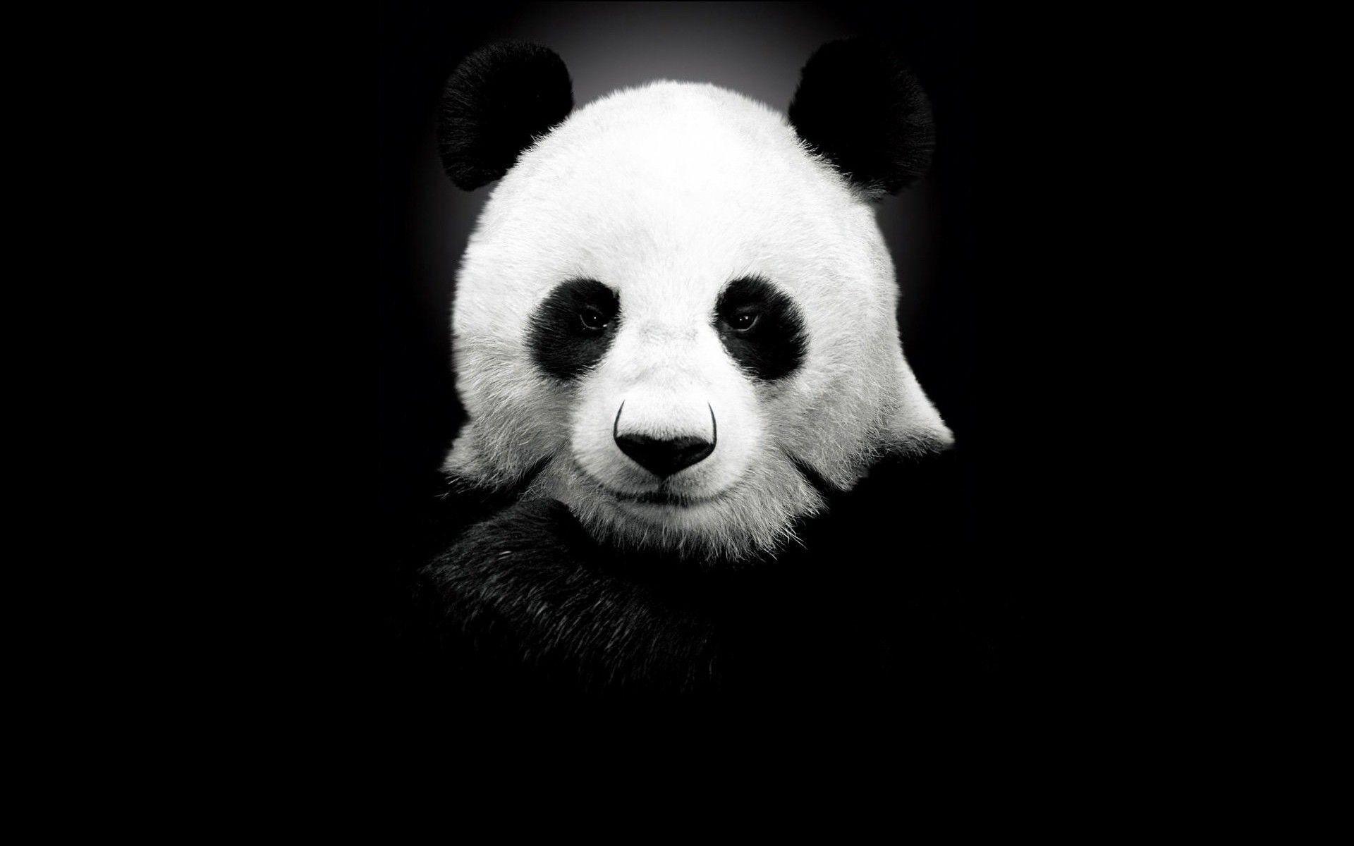 Panda Wallpaper Hd Hd Wallpapermonkey Panda Wallpapers