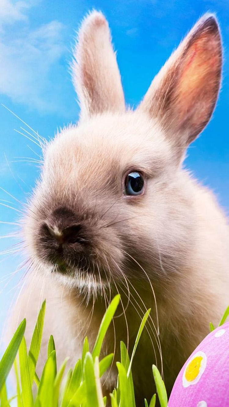 Super Meng Cute Bunny Iphone 6 Wallpaper Hd Iphone - Fond D Écran Lapin De Paques , HD Wallpaper & Backgrounds