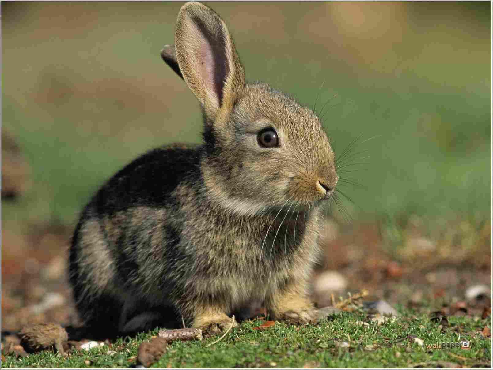 Cute Bunny Wallpapers Wallpaper Especies Invasoras No