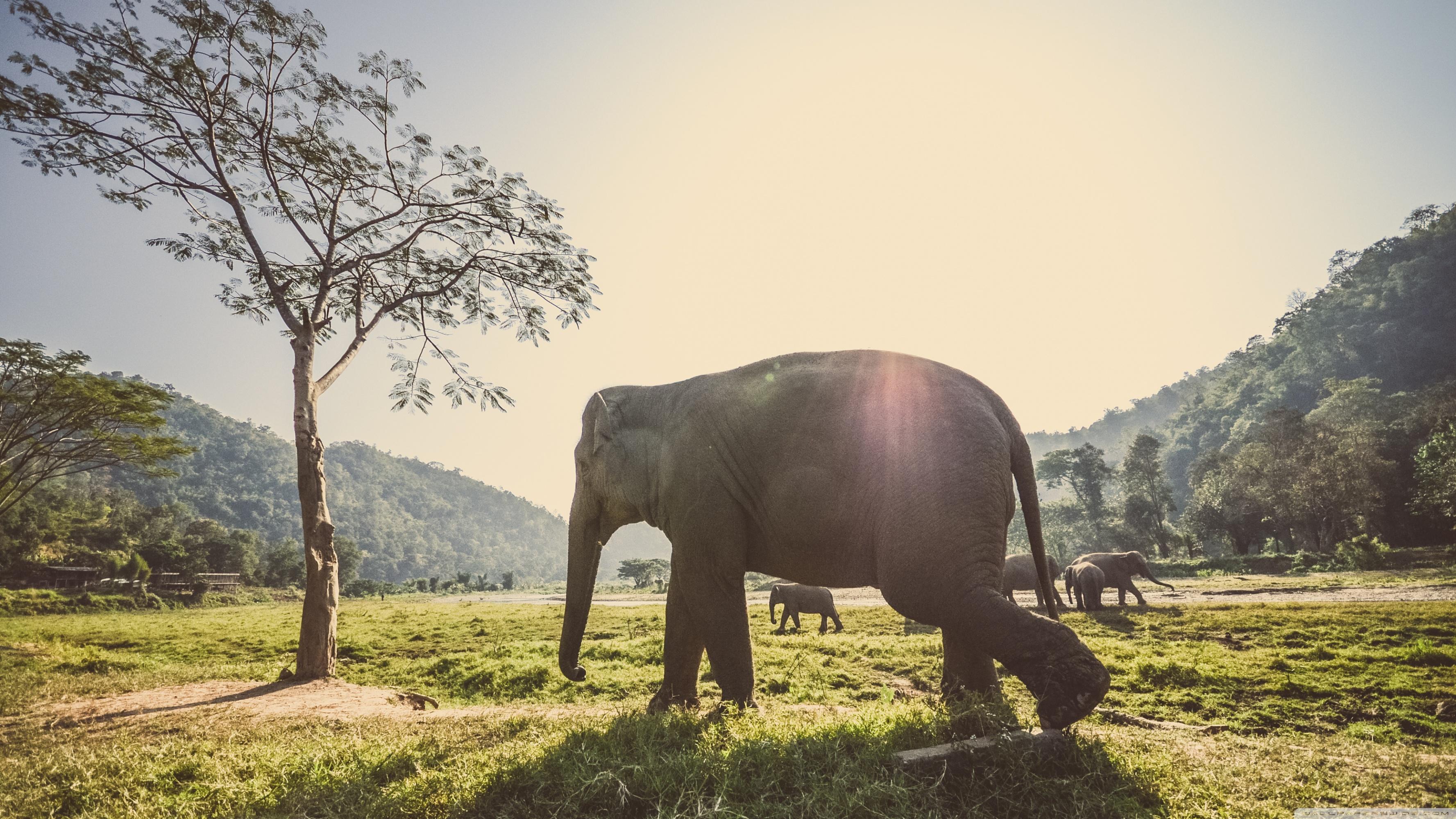 Standard Thailand Elephant 2013560 Hd Wallpaper