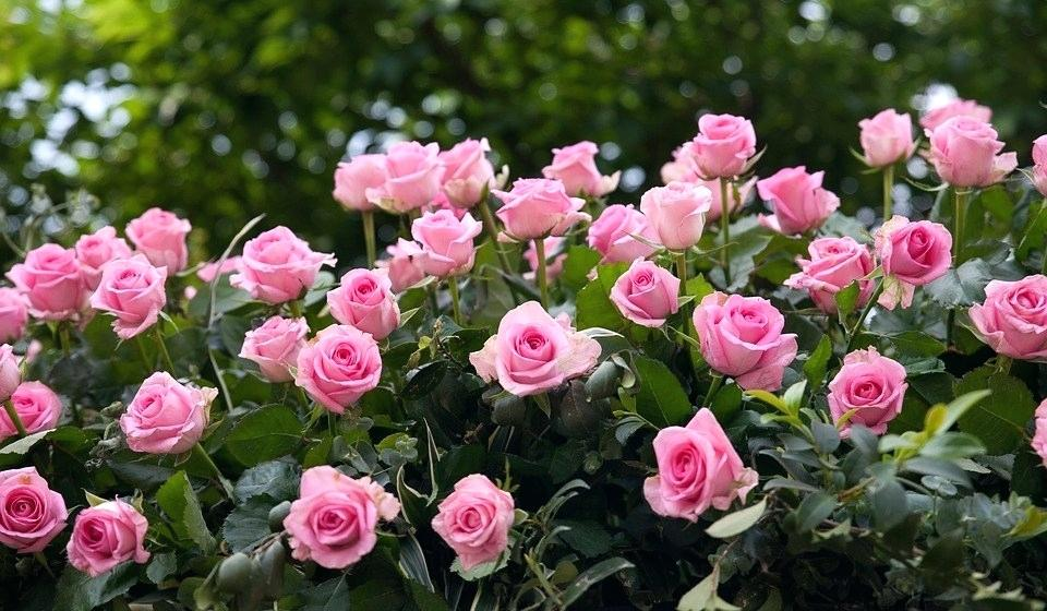 Beautiful Rose Garden Rose Flowers Rose Garden Nature Beautiful