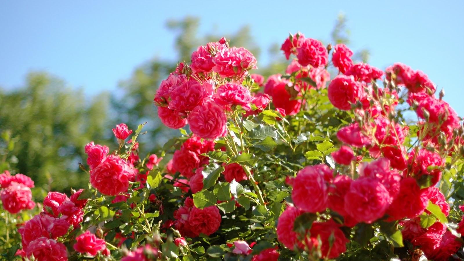 Rose Flower Garden Wallpaper - Flower Beautiful Full Hd , HD Wallpaper & Backgrounds