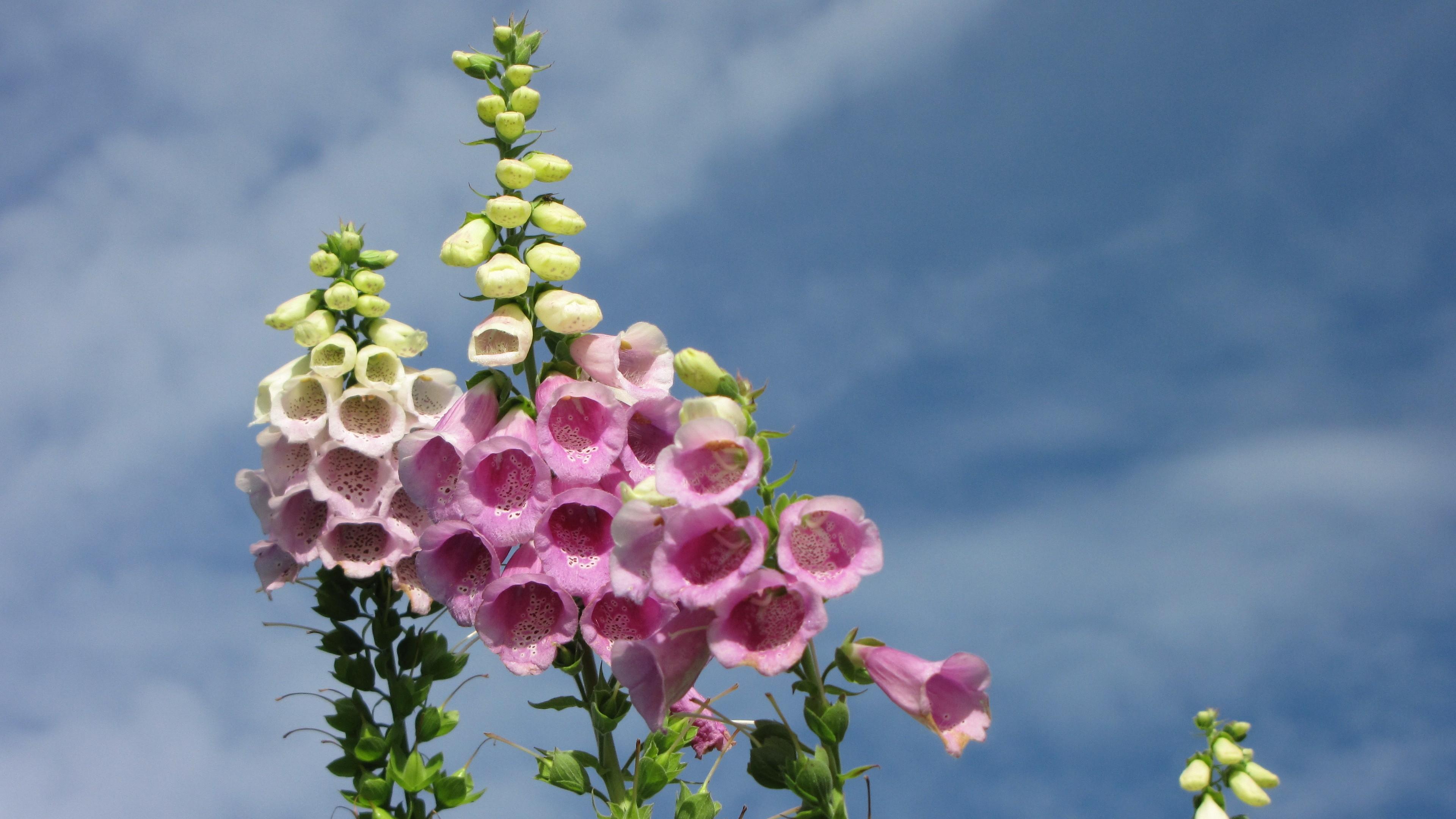 Flower Pink Happy Day Bluesky Garden Wallpaper Desktop - Digitalis , HD Wallpaper & Backgrounds