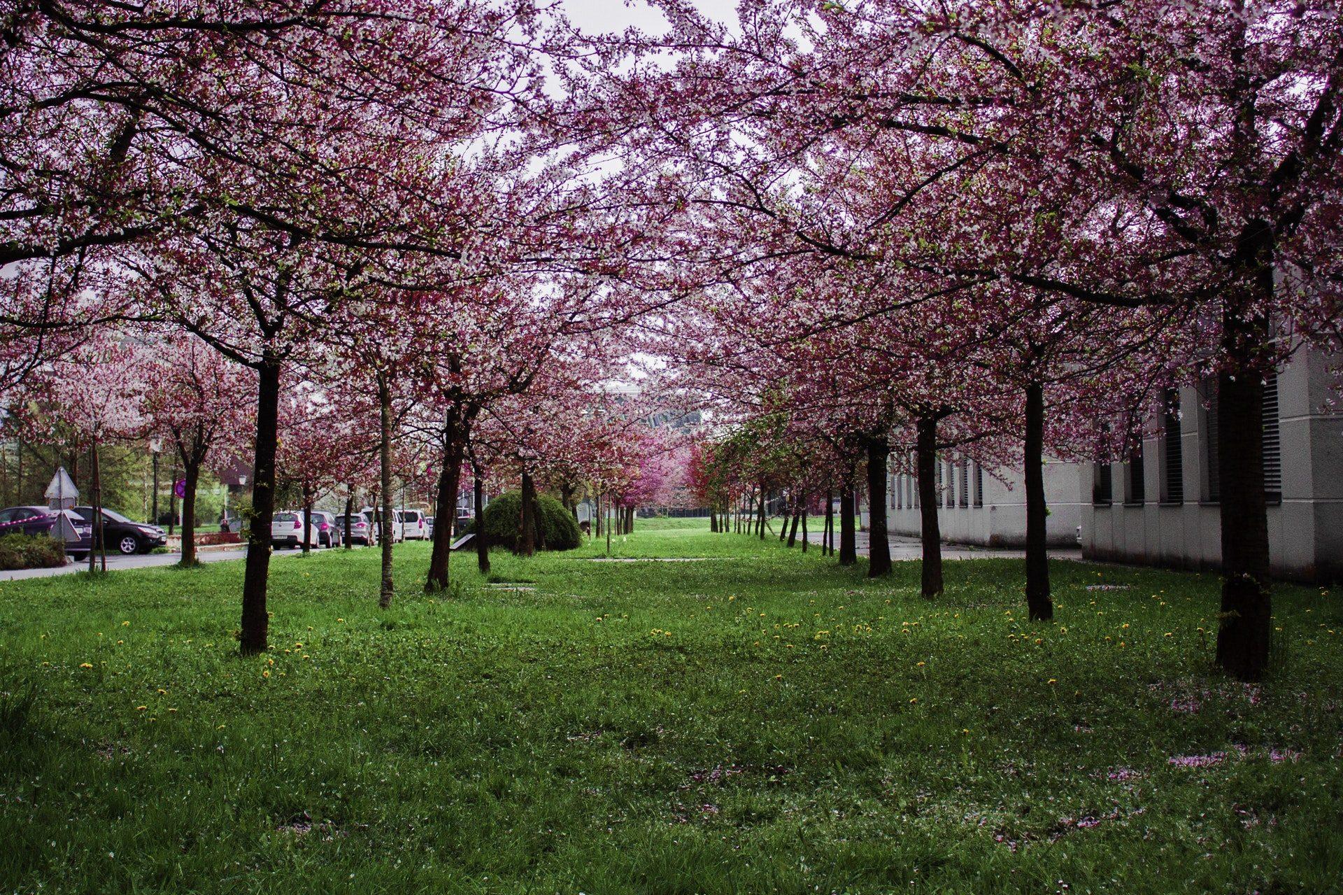 Beautiful Sakura Tree Garden Wallpaper Beautiful Sakura Centennial Park Cherry Blossoms 2015149 Hd Wallpaper Backgrounds Download