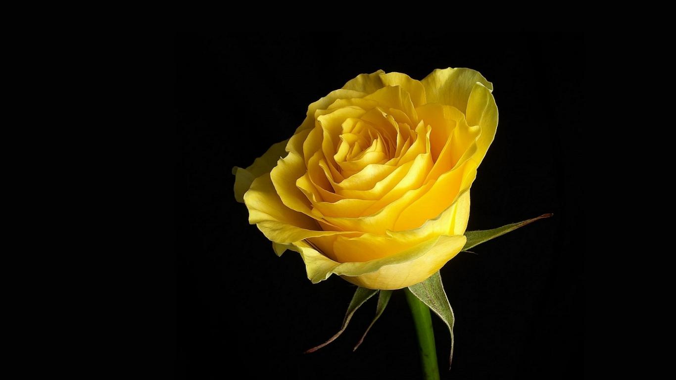 Cool Yellow Roses - Imagens De Rosas Amarelas , HD Wallpaper & Backgrounds